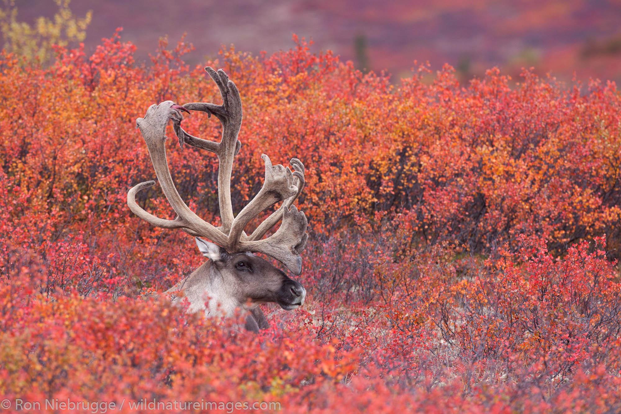 Denali National Park, Alaska, photo, picture, caribou , photo