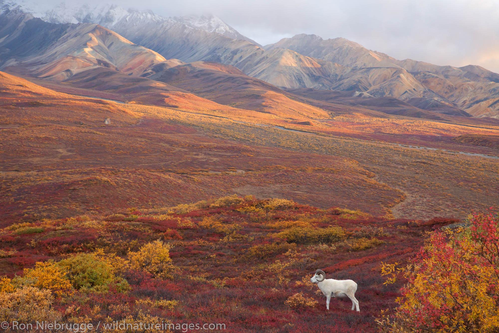 Denali National Park, Alaska, photo, picture, sheep, dall sheep, autumn , photo