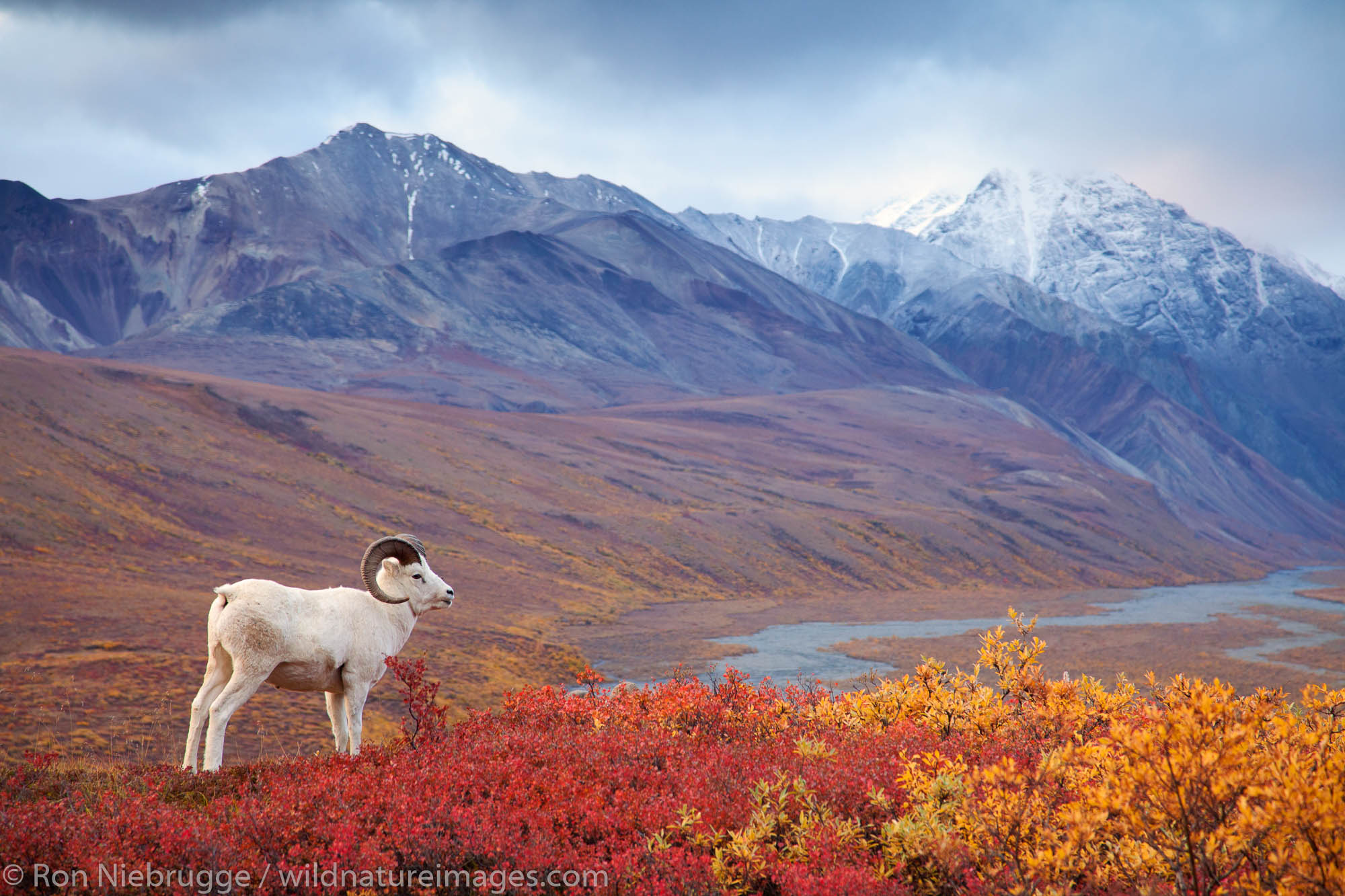 Denali National Park, Alaska, photo, picture, dalls sheep, sheep , photo