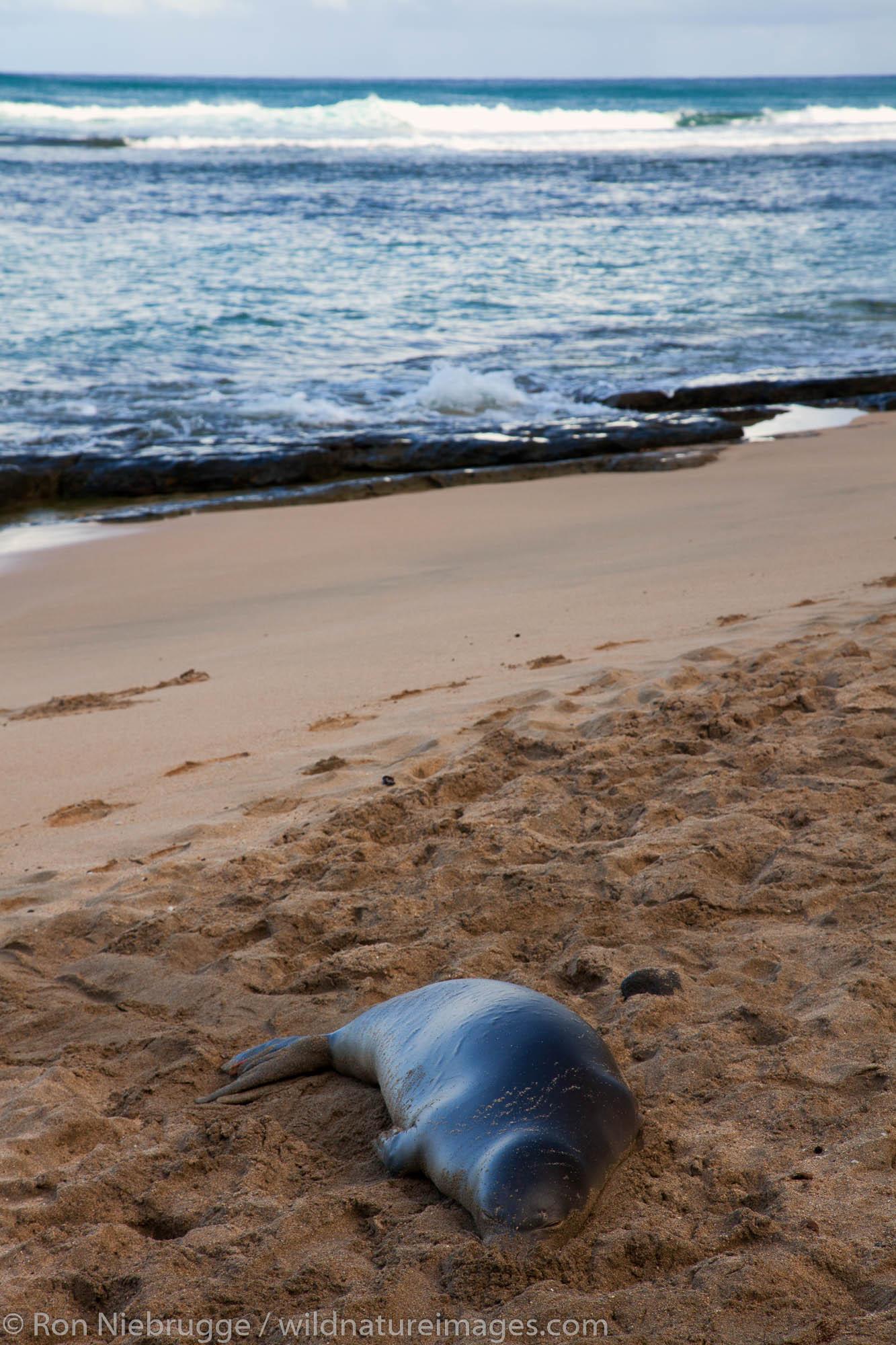 Hawaiian monk seal on Ke'e Beach at the beginning of the Na Pali Coast, Kauai, Hawaii.