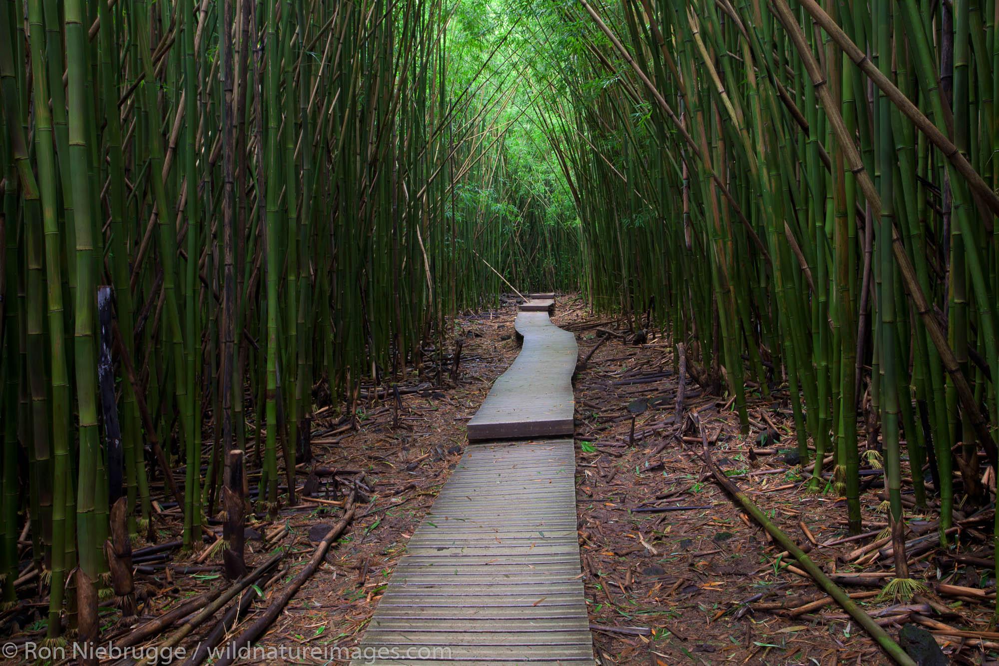 Bamboo forest along the Pipiwai Trail above the Ohe'o Gulch - aka Seven Sacred Pools, Haleakala National Park, near Hana, Maui...