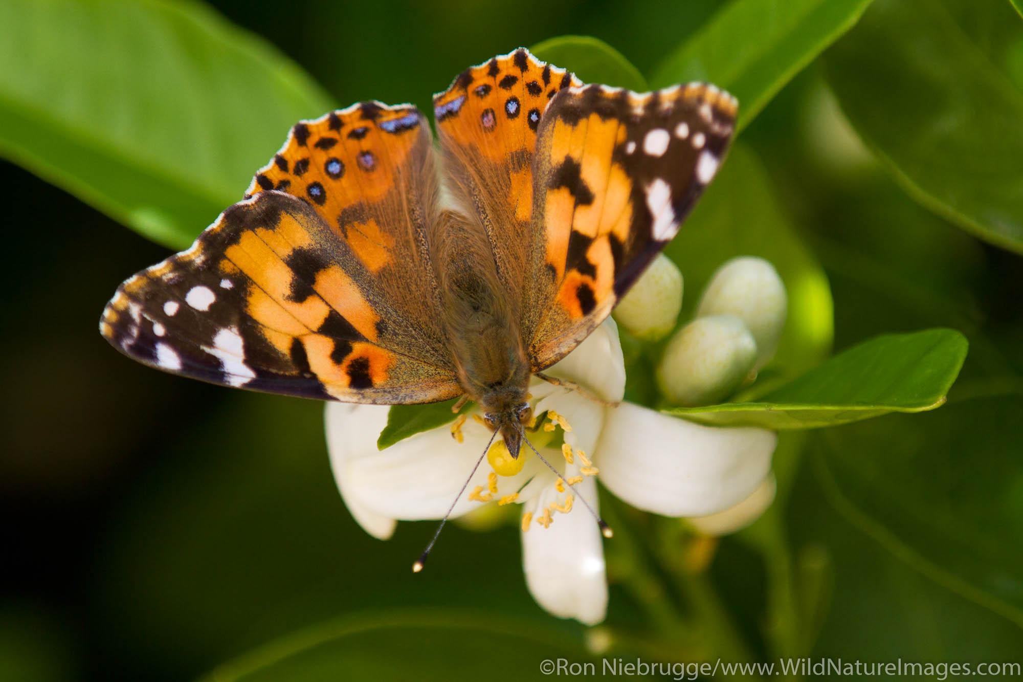 Moth, Anza-Borrego Desert State Park, California.