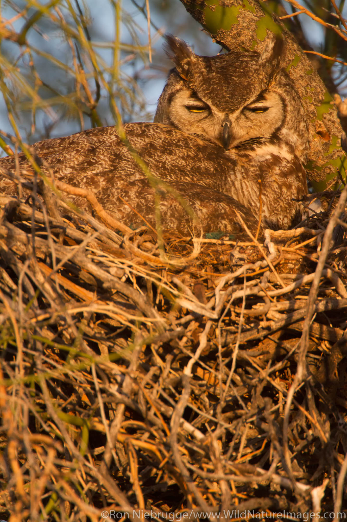 Great Horned Owl, (Bubo virginianus) at McDowell Mountain Regional Park, near Fountain Hills and East of Phoenix, Arizona.