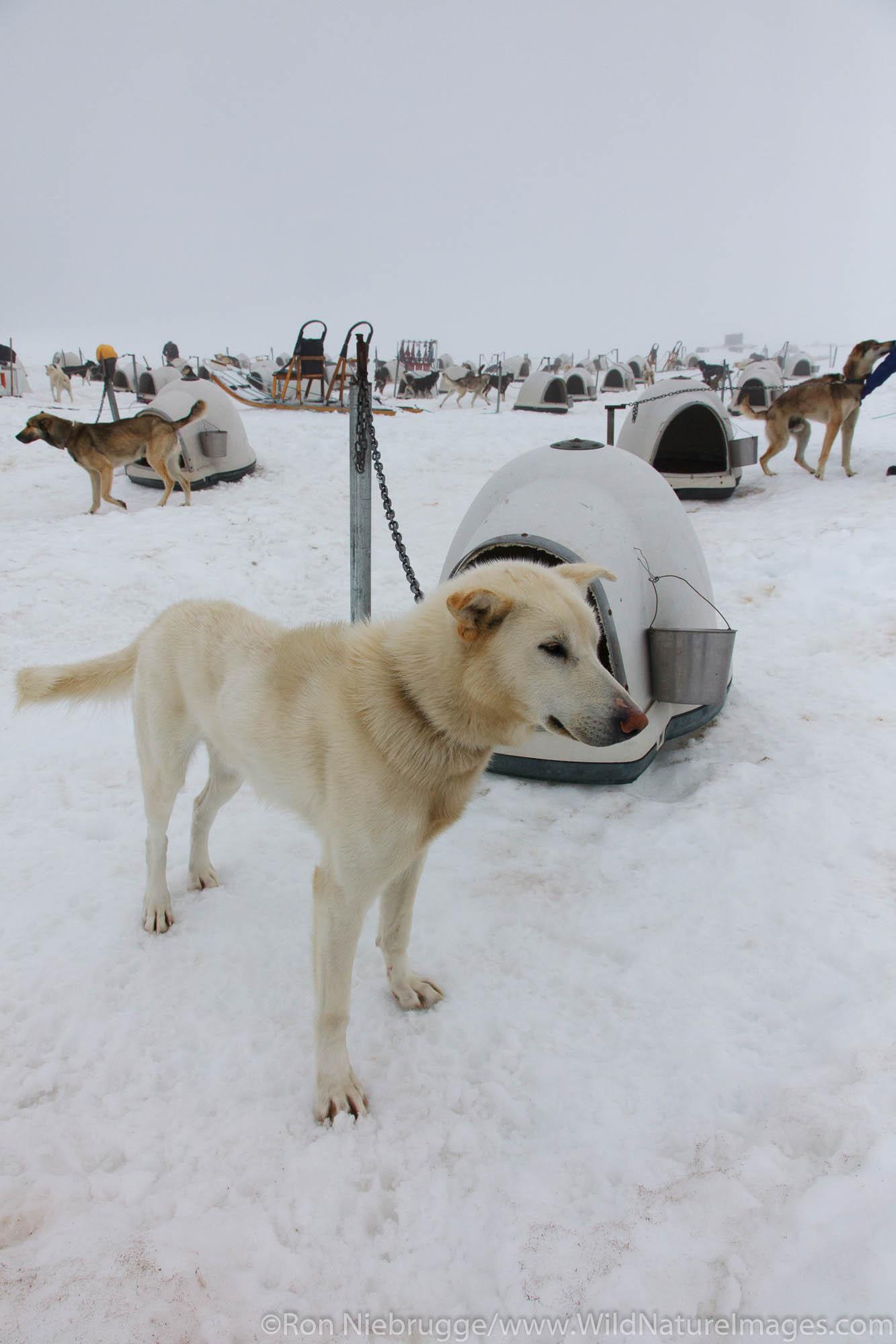 Sled dog tour on Punch Bowl Glacier, Chugach National Forest, near Girdwood, Alaska.