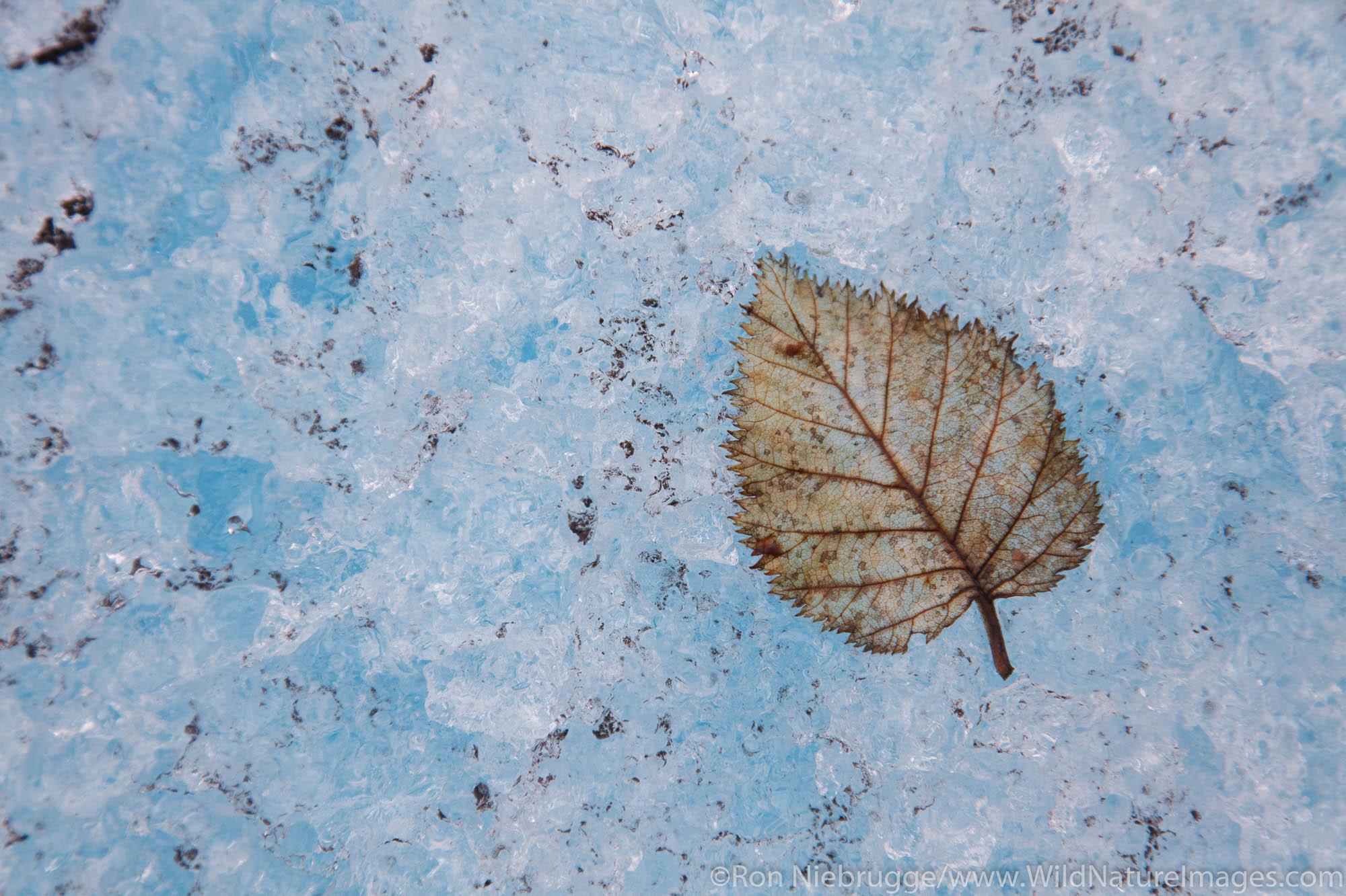 Single leaf on Spencer Glacier, Chugach National Forest, Alaska.