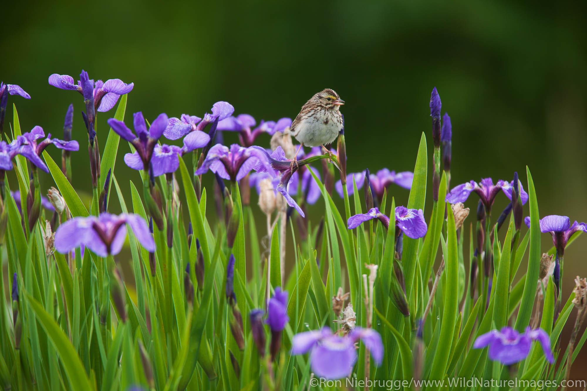 Savannah Sparrow (Passerculus sandwichensis) on wild iris, Chugach National Forest, Alaska.