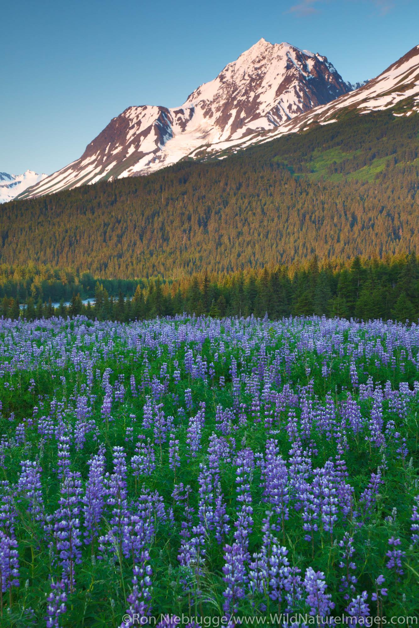 Field of lupine, Chugach National Forest, Alaska.