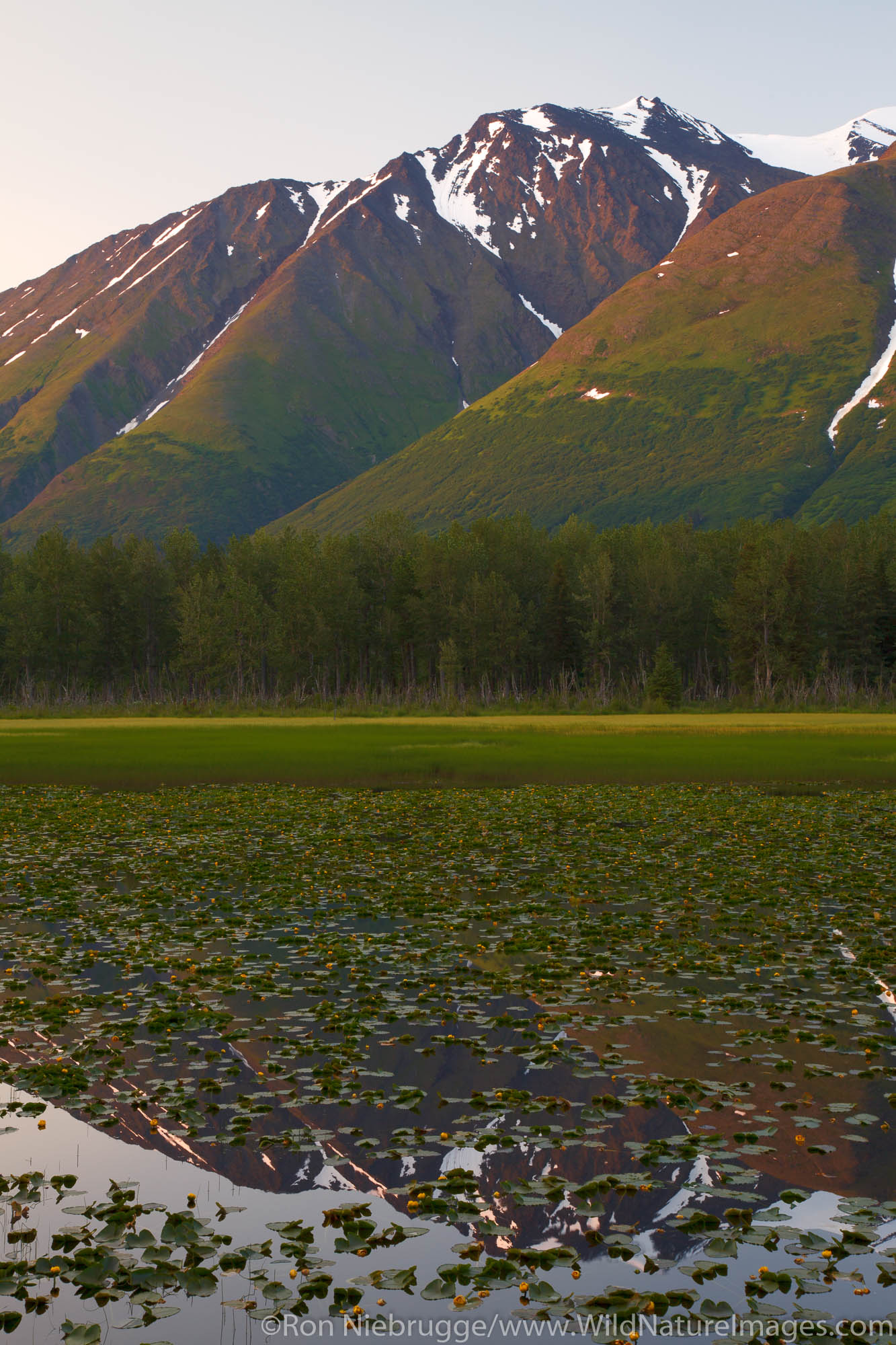 A lily pond in the Chugach National Forest, Alaska.