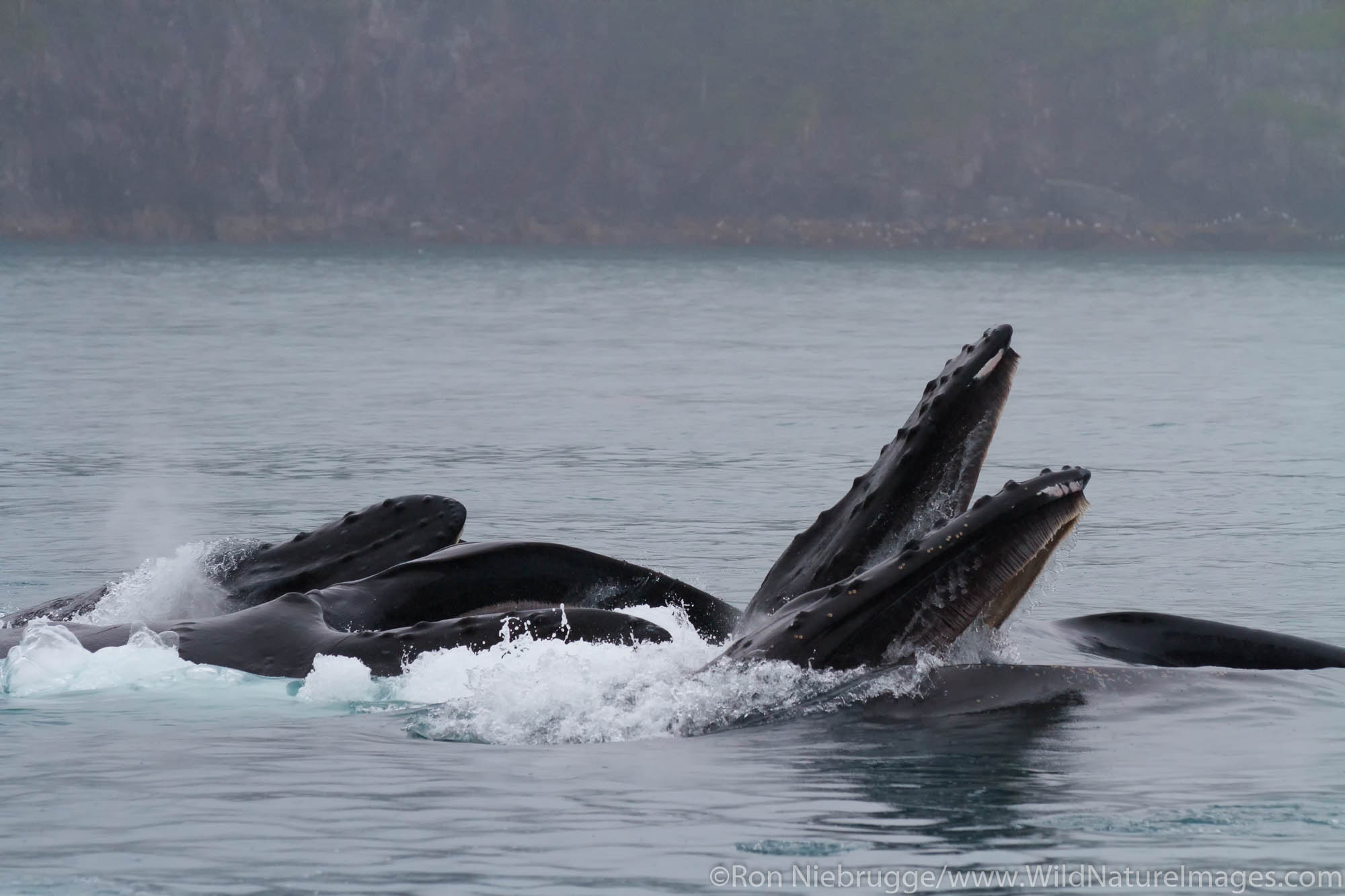 Humpback Whales lunge feeding, Kenai Fjords National Park, near Seward, Alaska.
