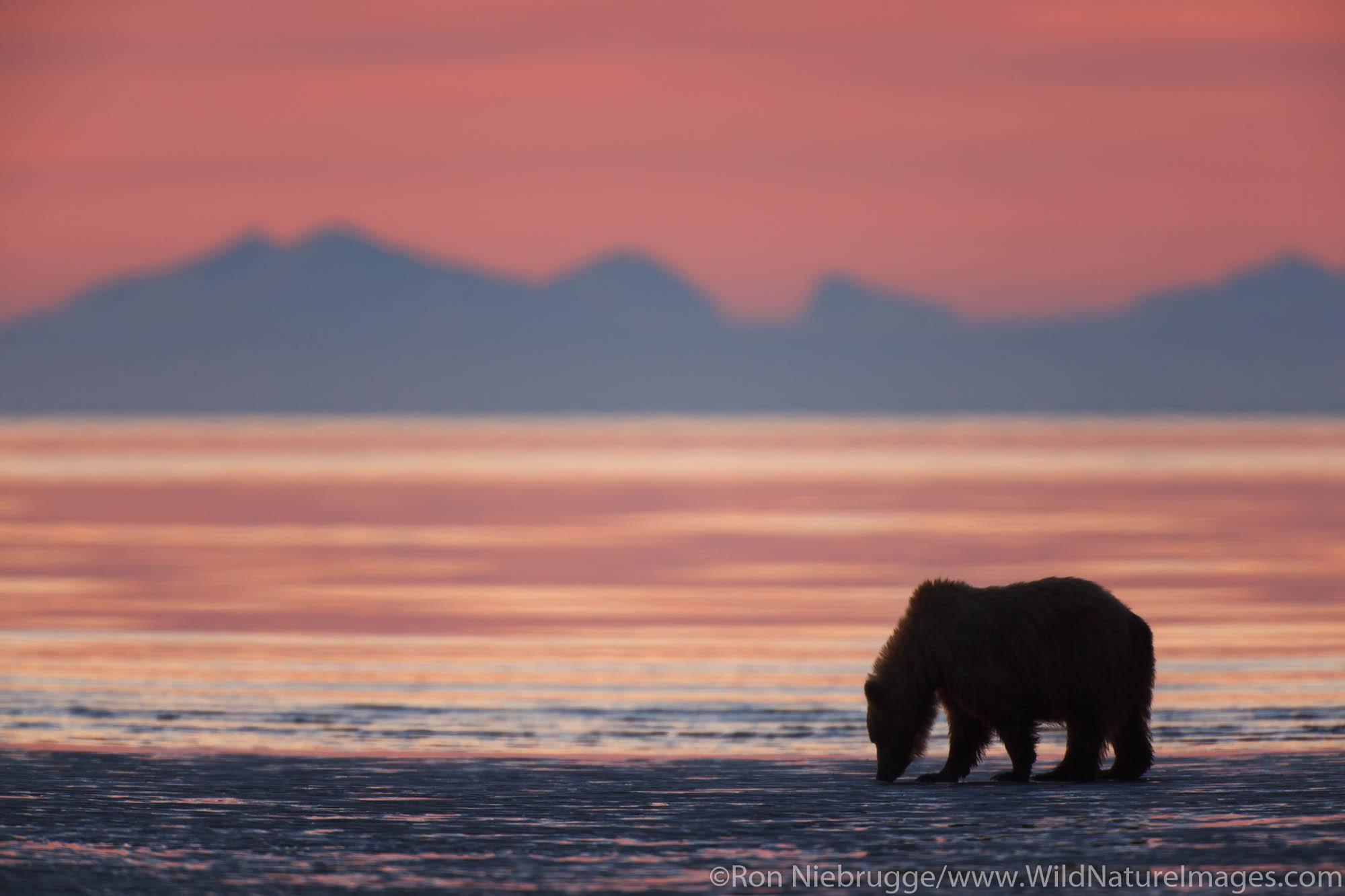 Brown or Grizzly Bear silhouetted against sunrise sky, Lake Clark National Park, Alaska.