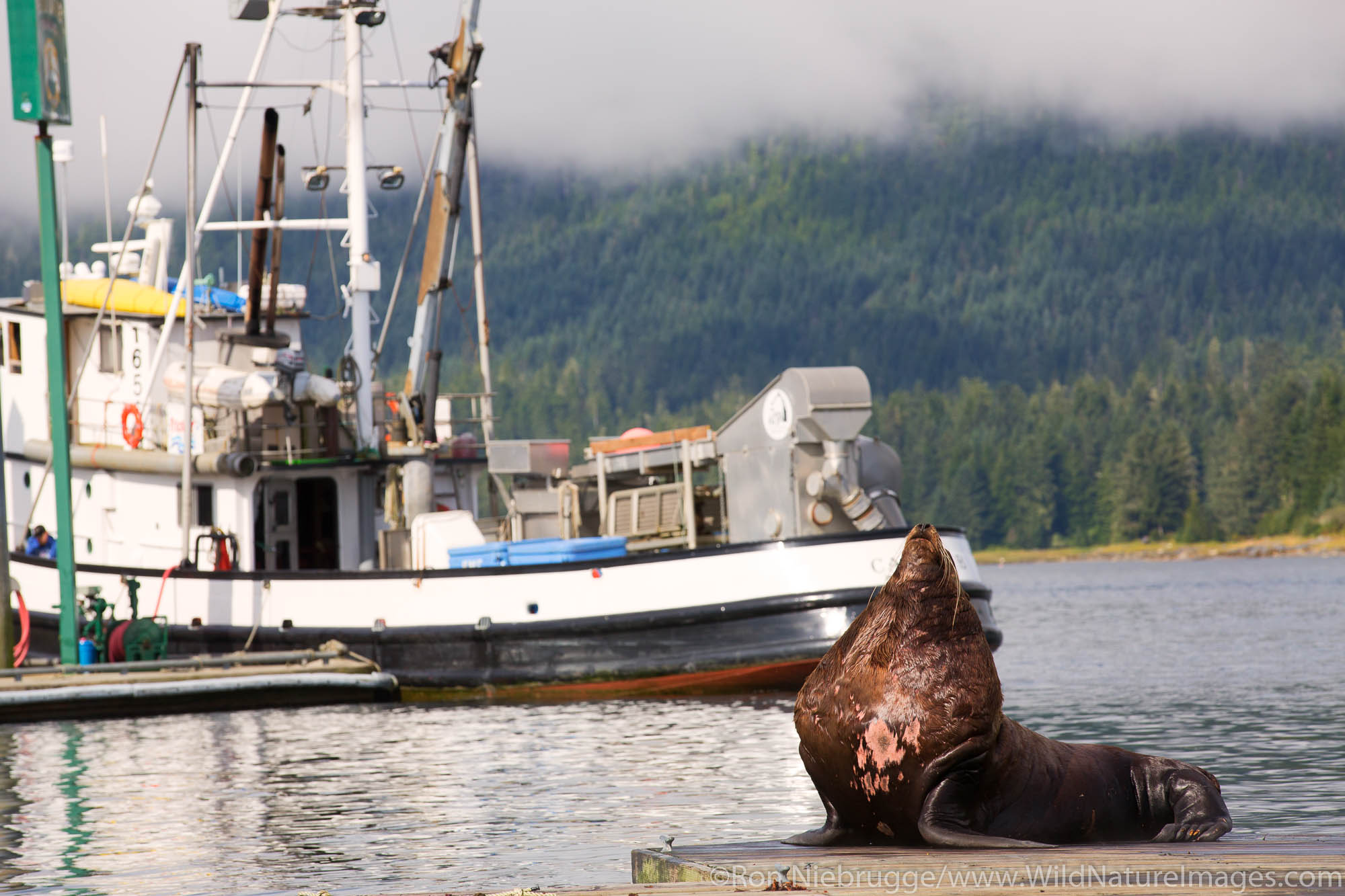 Sea lion, Petersburg, Alaska.