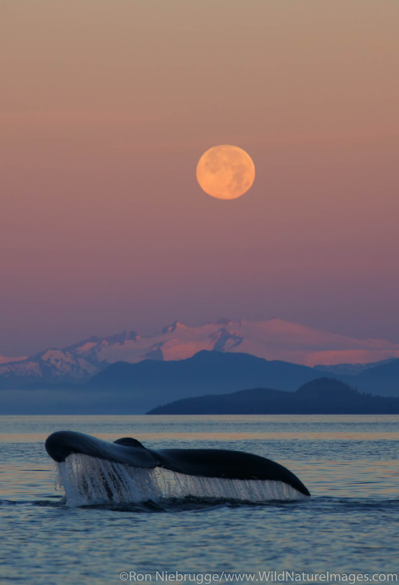 Tongass National Forest, Inside Passage, Alaska, humpback whale , photo