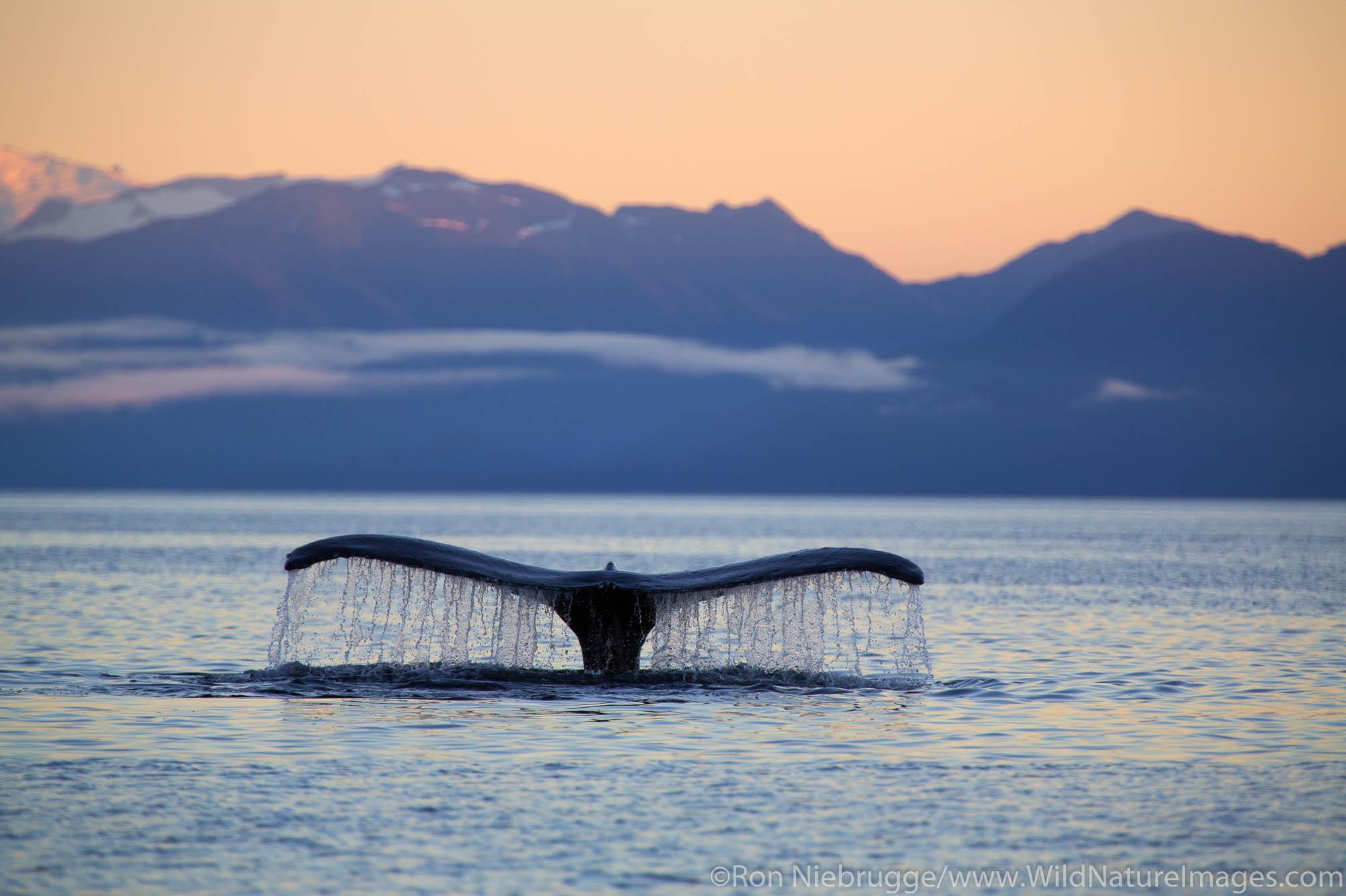 Humpback whale at sunrise, Tongass National Forest, Alaska.
