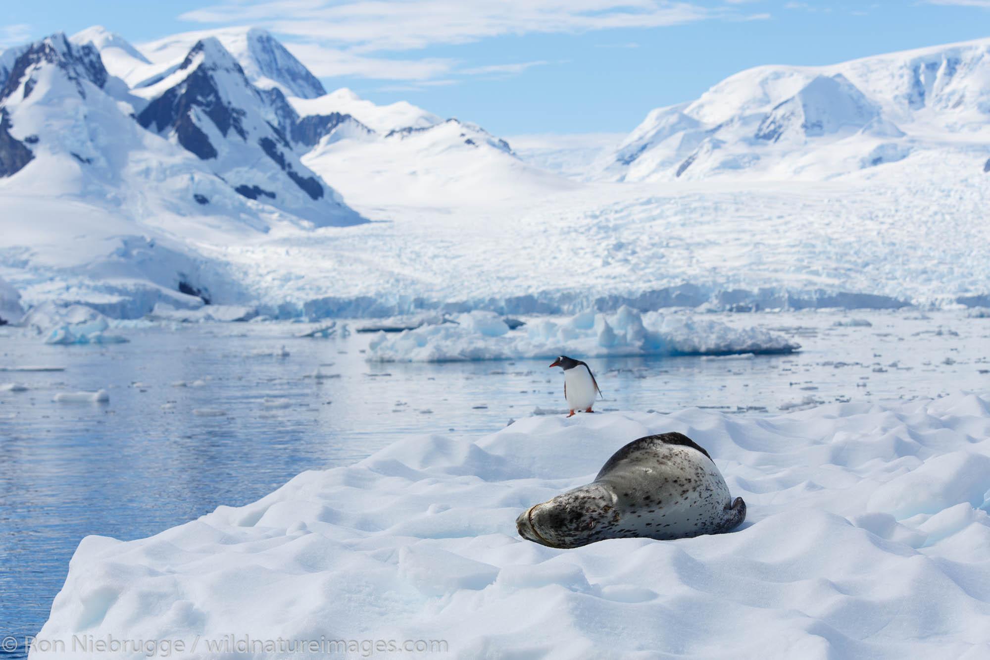 Leopard seal (Hydrurga leptonyx) and a Gentoo penguin, Cierva Cove Antarctica.