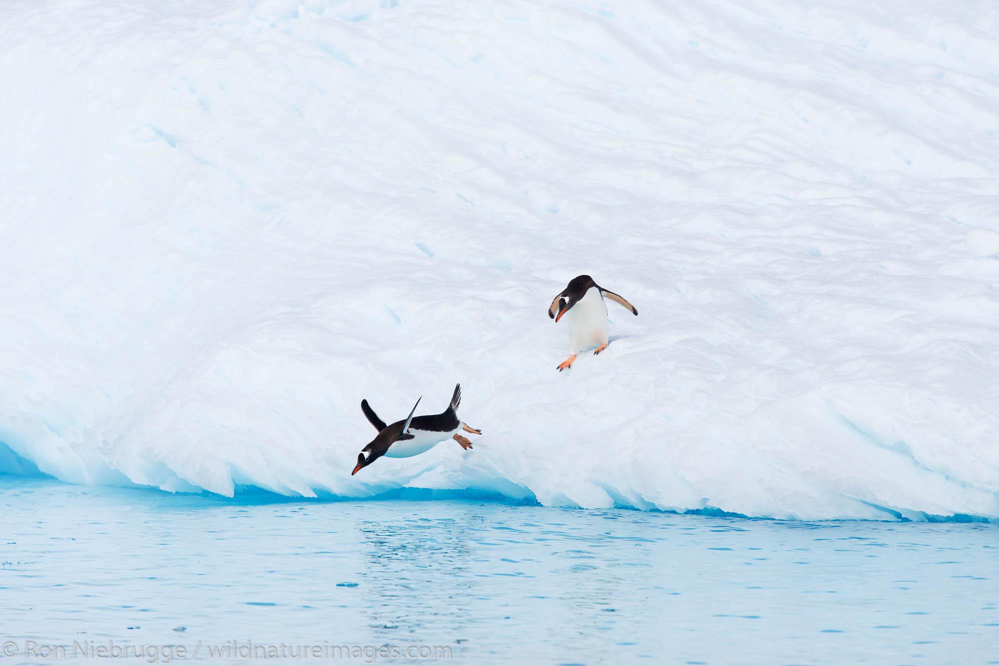 Gentoo Penguin (Pygoscelis papua) Cierva Cove, Antarctica.
