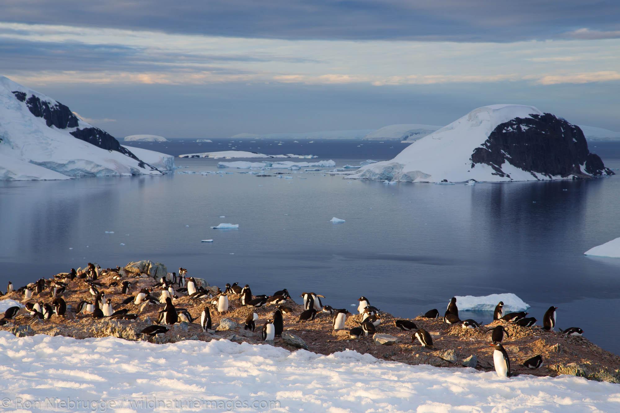 Gentoo Penguin (Pygoscelis papua) colony on Danco Island, Antarctica.