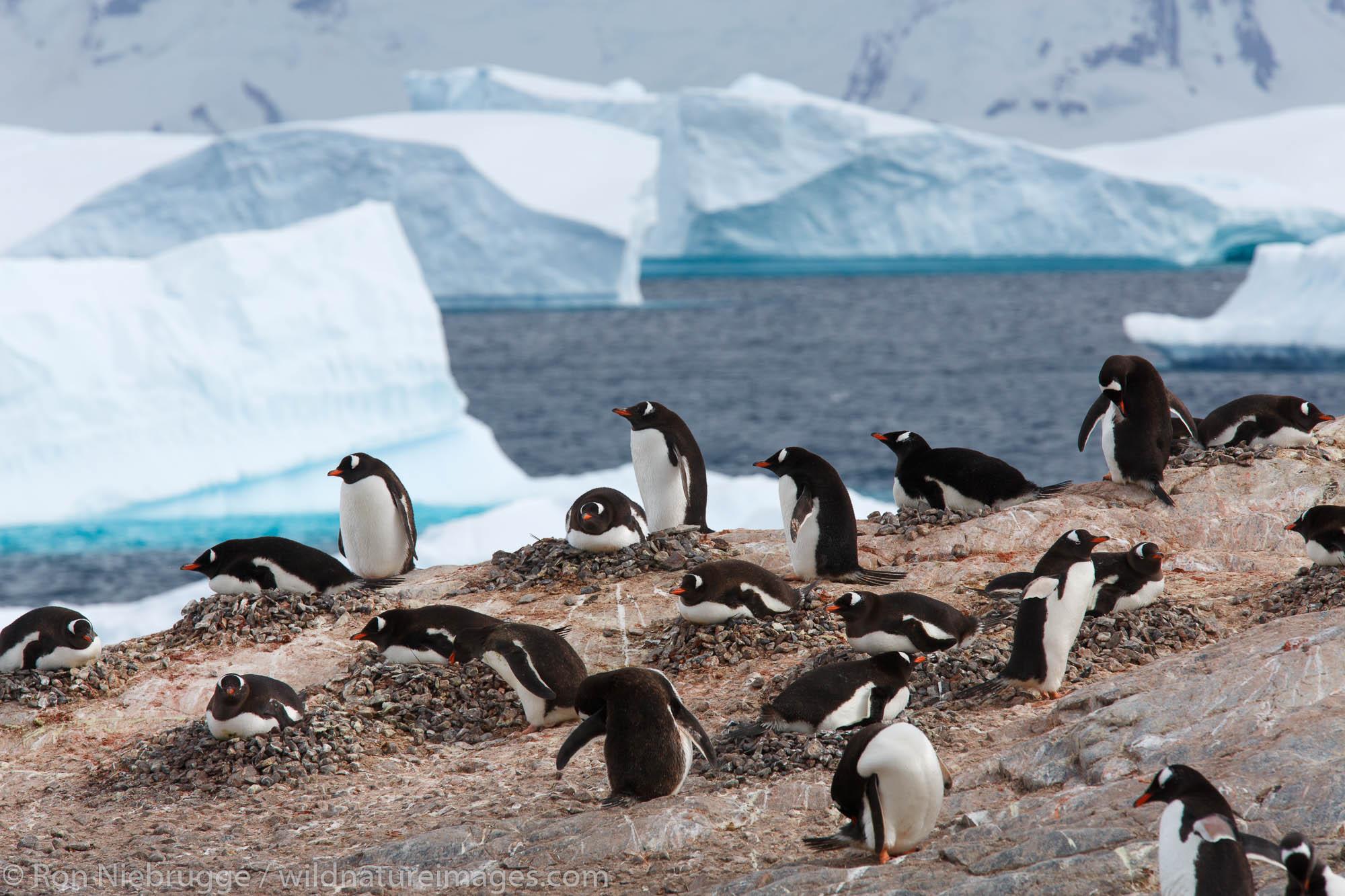 A Gentoo Penguin colony (Pygoscelis papua) on Cuverville Island, Antarctica.