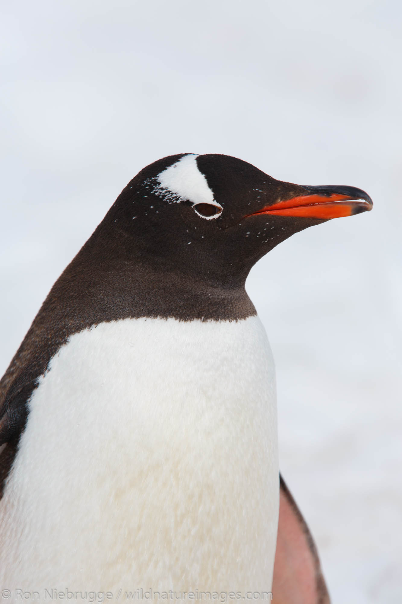 A Gentoo Penguin (Pygoscelis papua) on Cuverville Island, Antarctica.