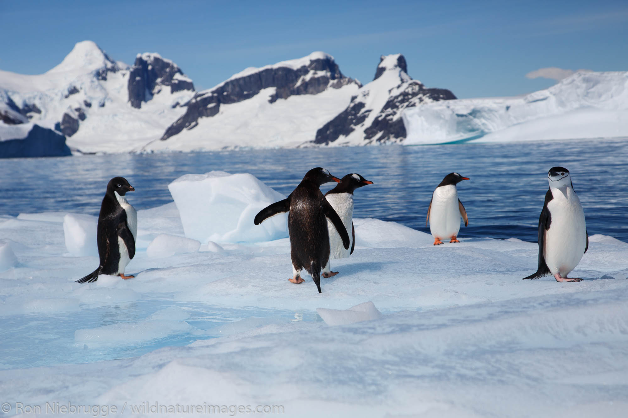 All three species of Brush-Tailed Penguins, Adélie Penguin (Pygoscelis adeliae), Chinstrap Penguin (Pygoscelis antarctica) Gentoo...