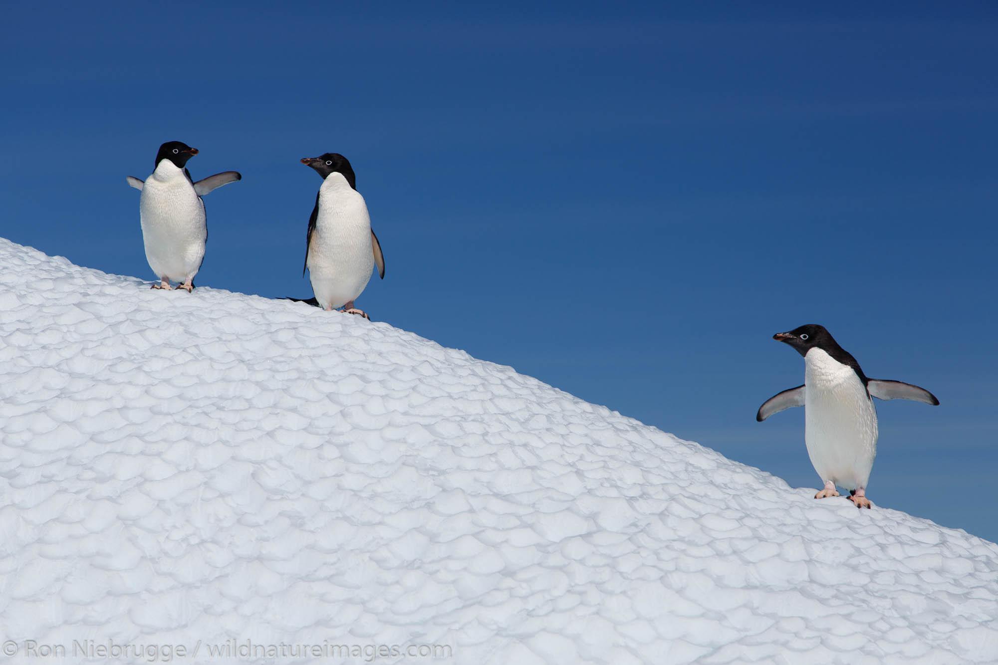 Antarctica, Adélie Penguin, Pygoscelis adeliae, Petermann Island, photo