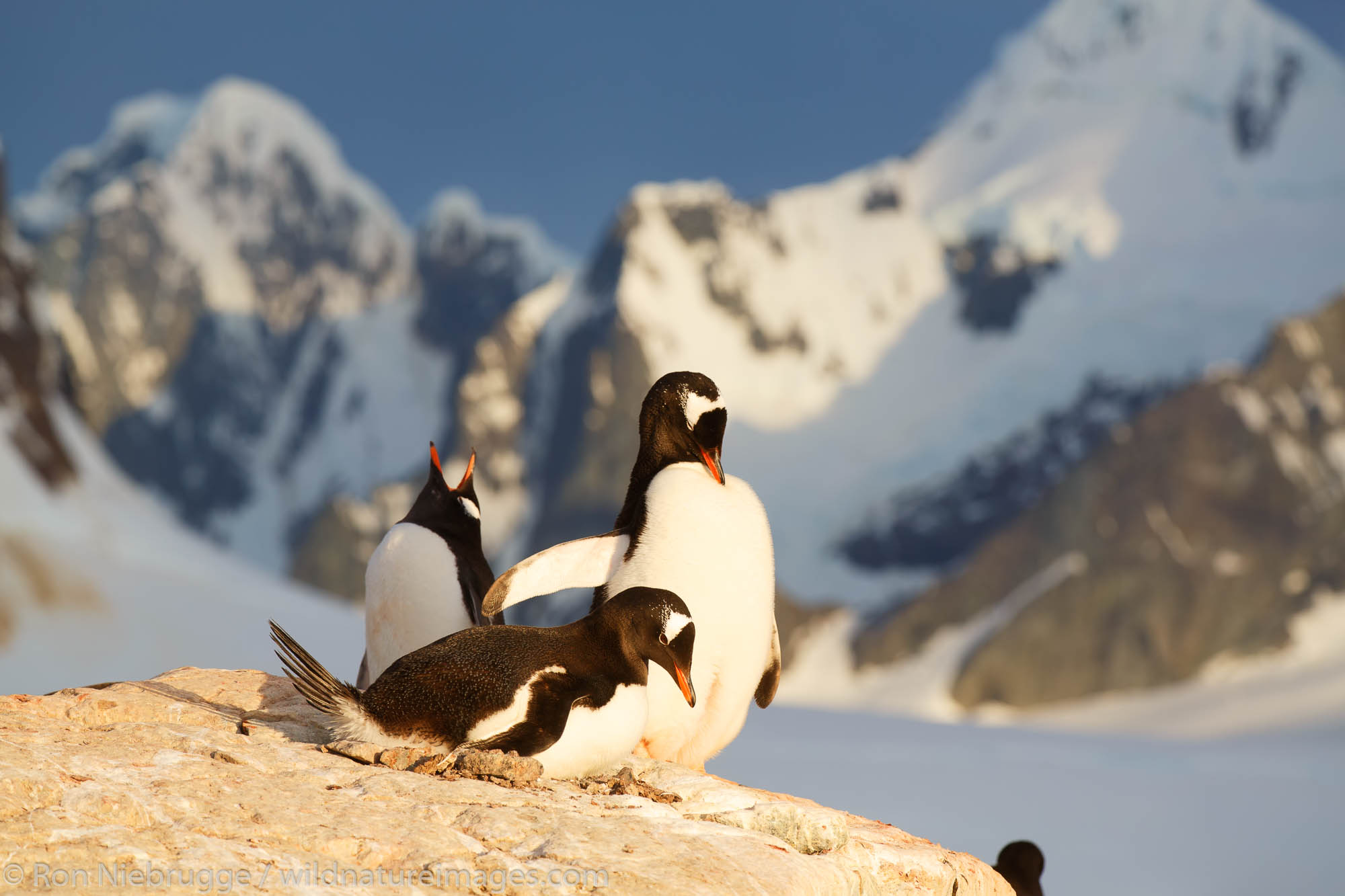 Antarctica, Gentoo Penguin, Booth Island, photo