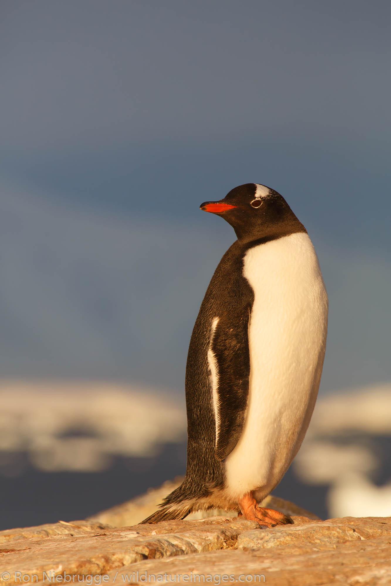 Antarctica, Gentoo Penguin, Booth Island, photo