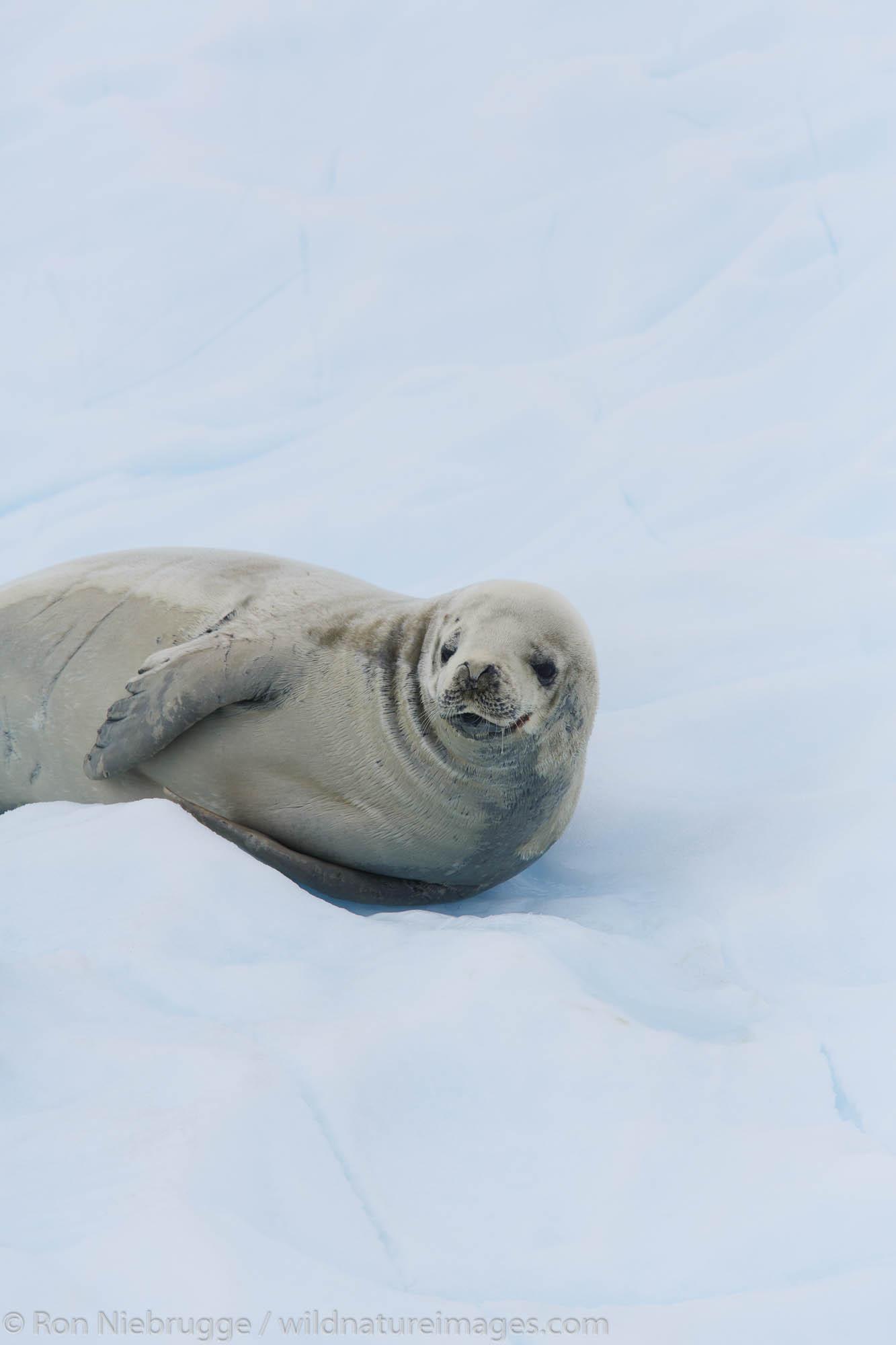 Crabeater seal, (Lobodon carcinophagus) on icebergs in Paradise Bay, Antarctica.
