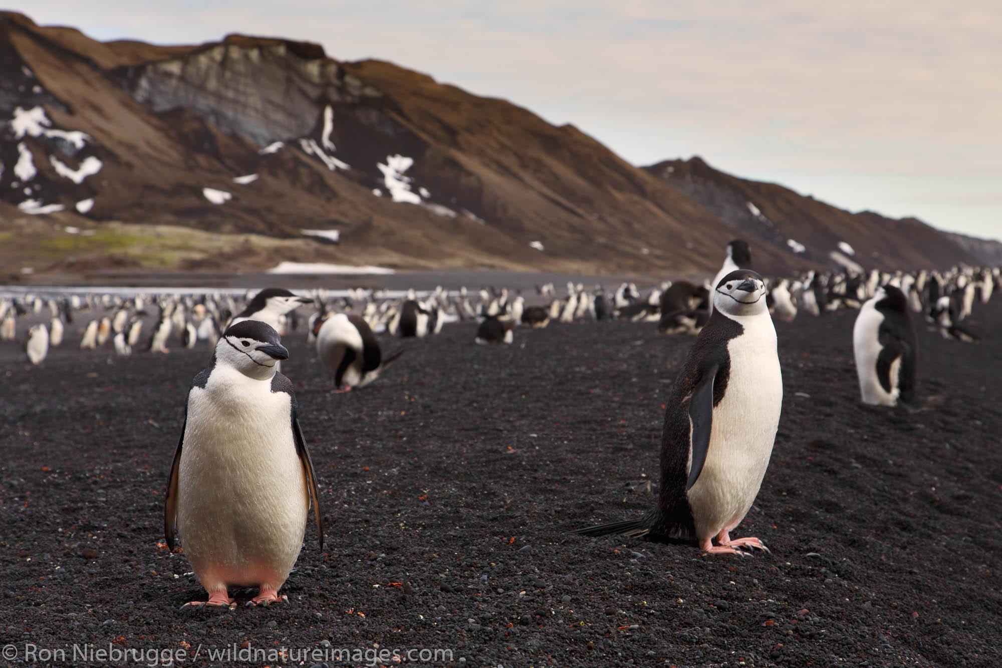 Antarctica, Chinstrip Penguins, Baily Head, Deception Island, photo