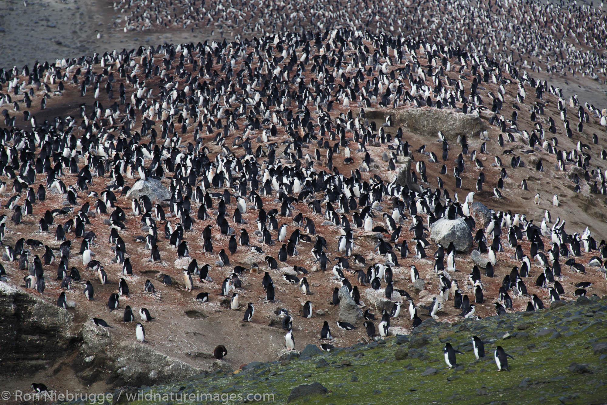 Chinstrap Penguin (Pygoscelis antarctica) colony, Baily Head, Deception Island, Antarctica.