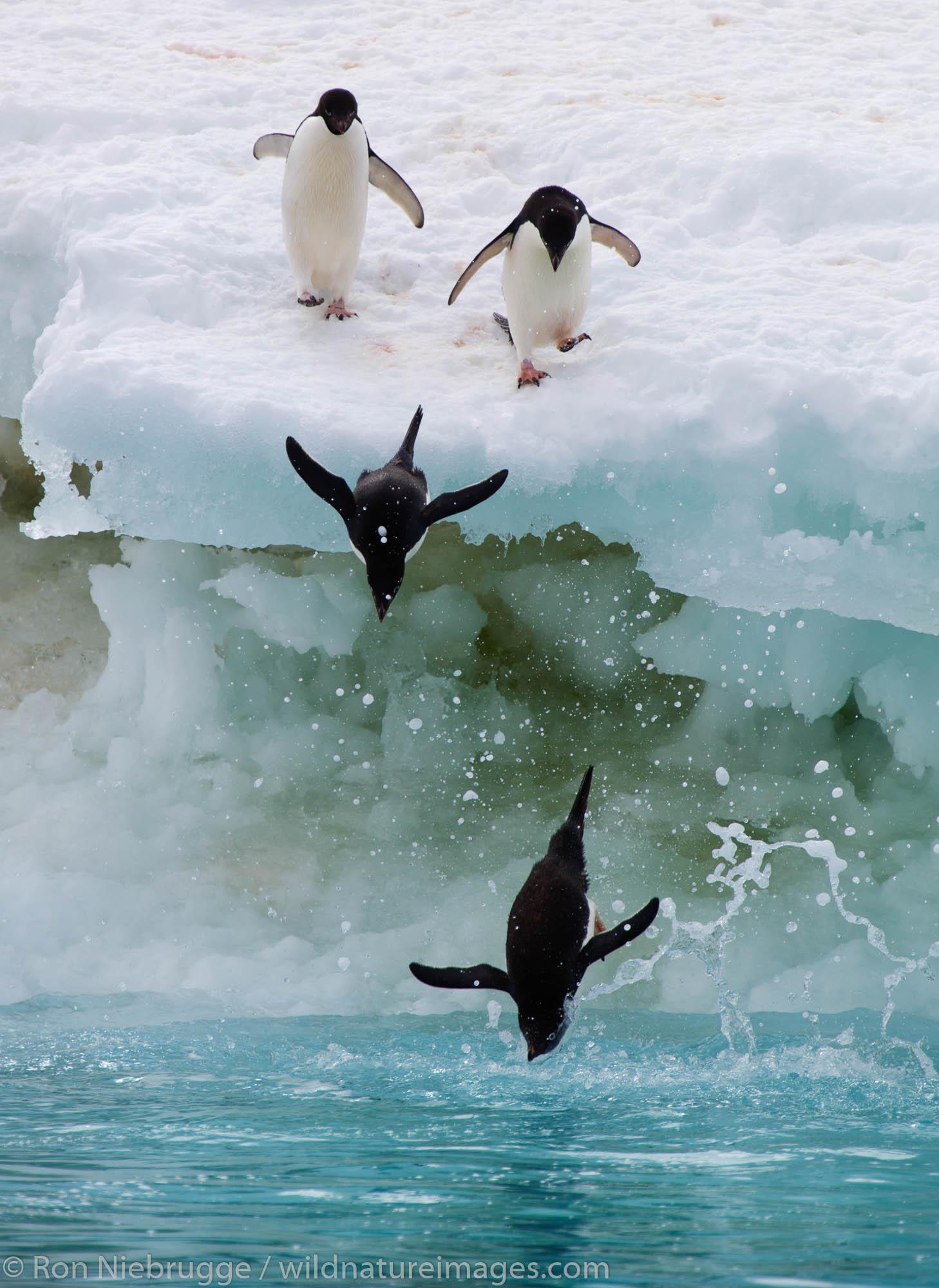 Adélie Penguins, (Pygoscelis adeliae) Icebergs at Brown Bluff, Antarctica.