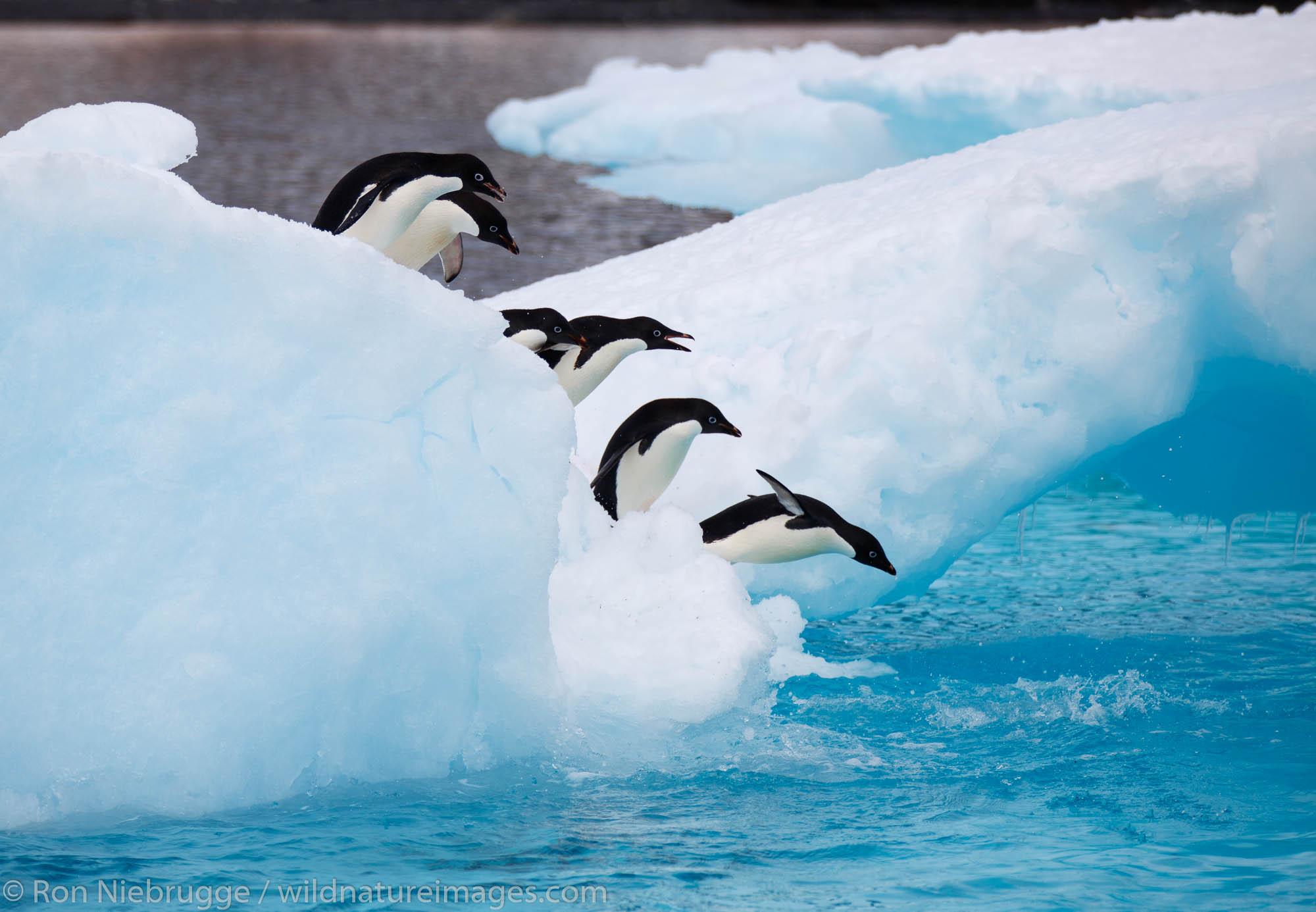 Antarctica, Adélie Penguins, Brown Bluff, photo