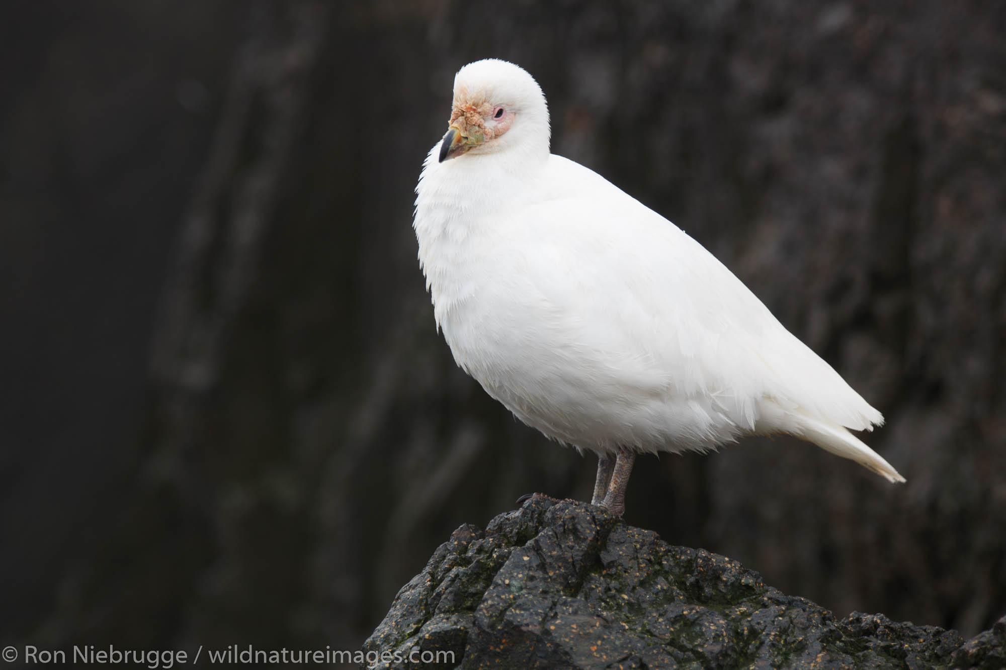 Pale-faced Sheathbill, Gourdin Island, Antarctica.