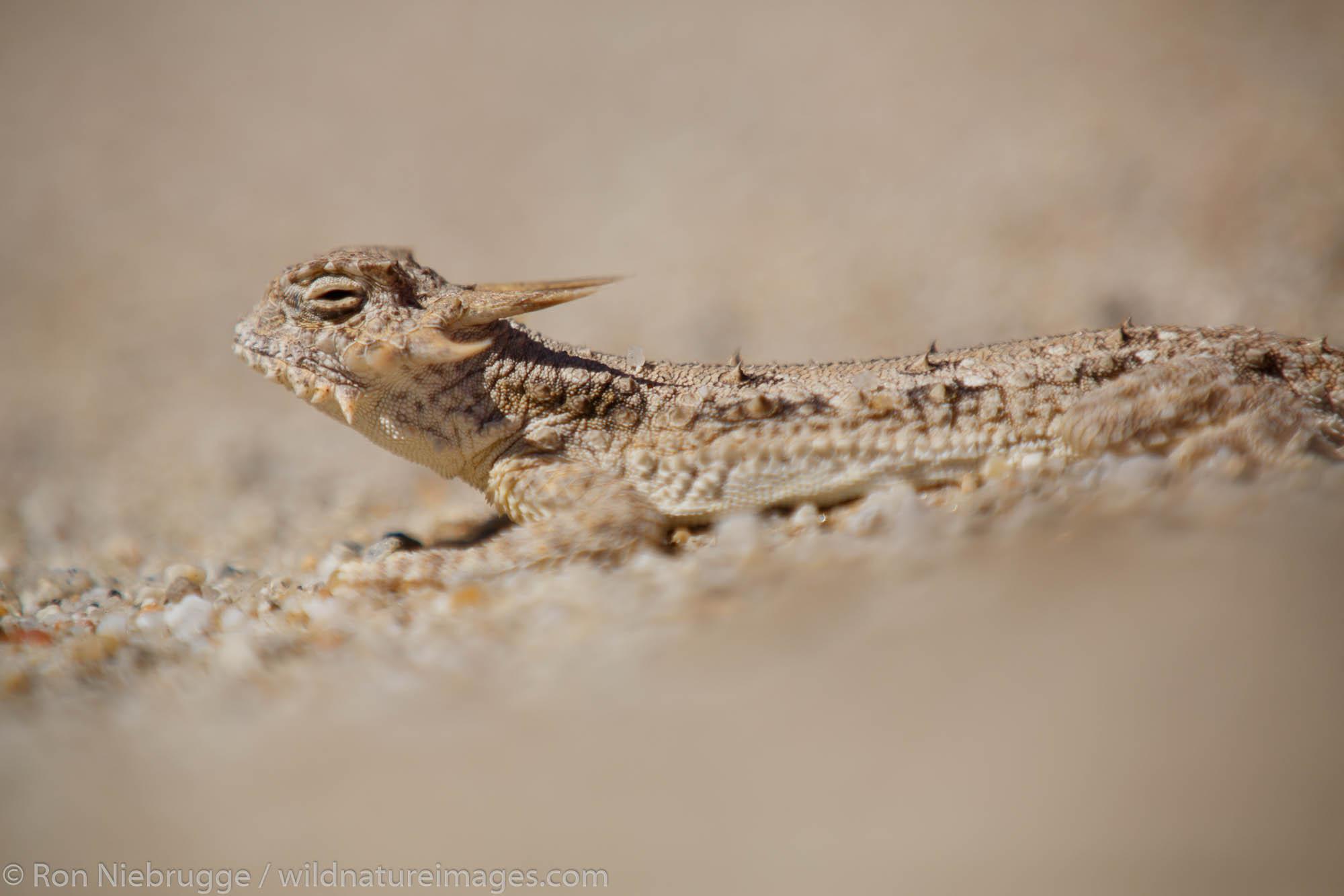 flat-tail horned lizard (Phrynosoma mcallii), Anza-Borrego Desert State Park, California.