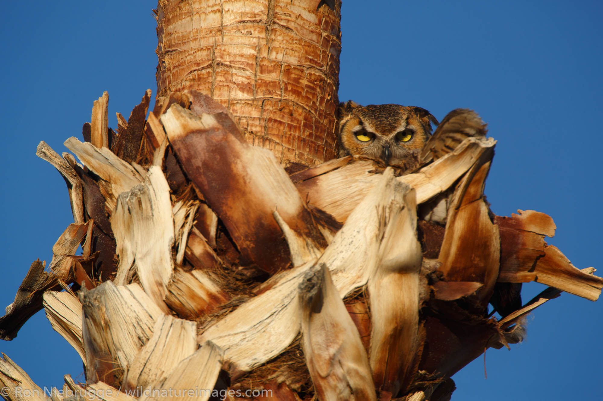 Great Horned Owl, (Bubo virginianus), Anza-Borrego Desert State Park, California.