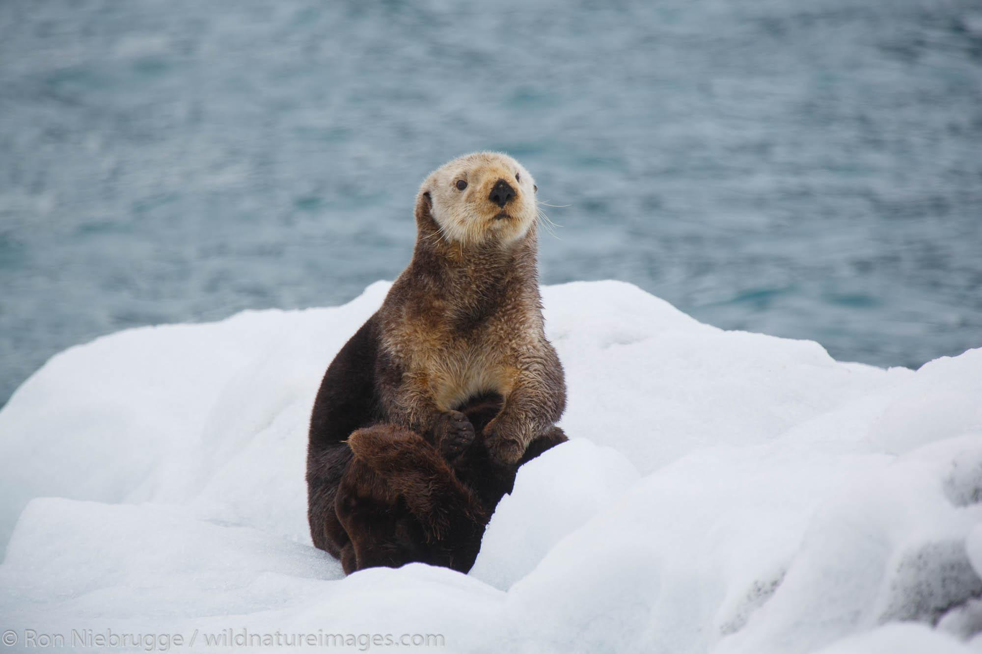 Sea Otter (Enhydra lutris).  College Fjord, Prince William Sound, Chugach National Forest, Alaska.