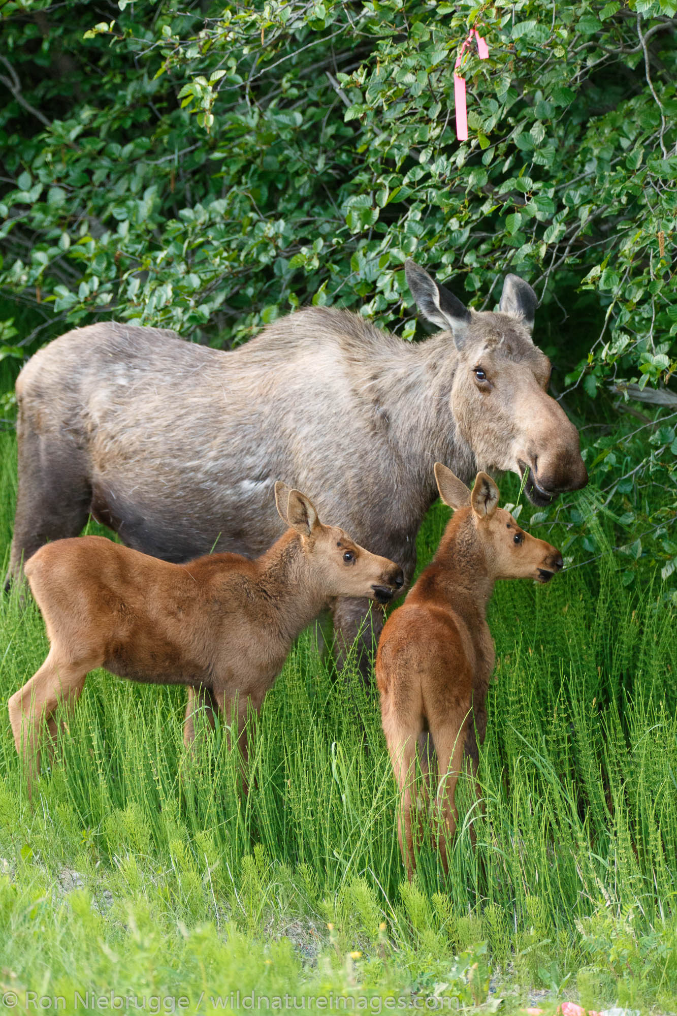 Cow and calf moose along Turnagain Arm, Chugach National Forest, Alaska.
