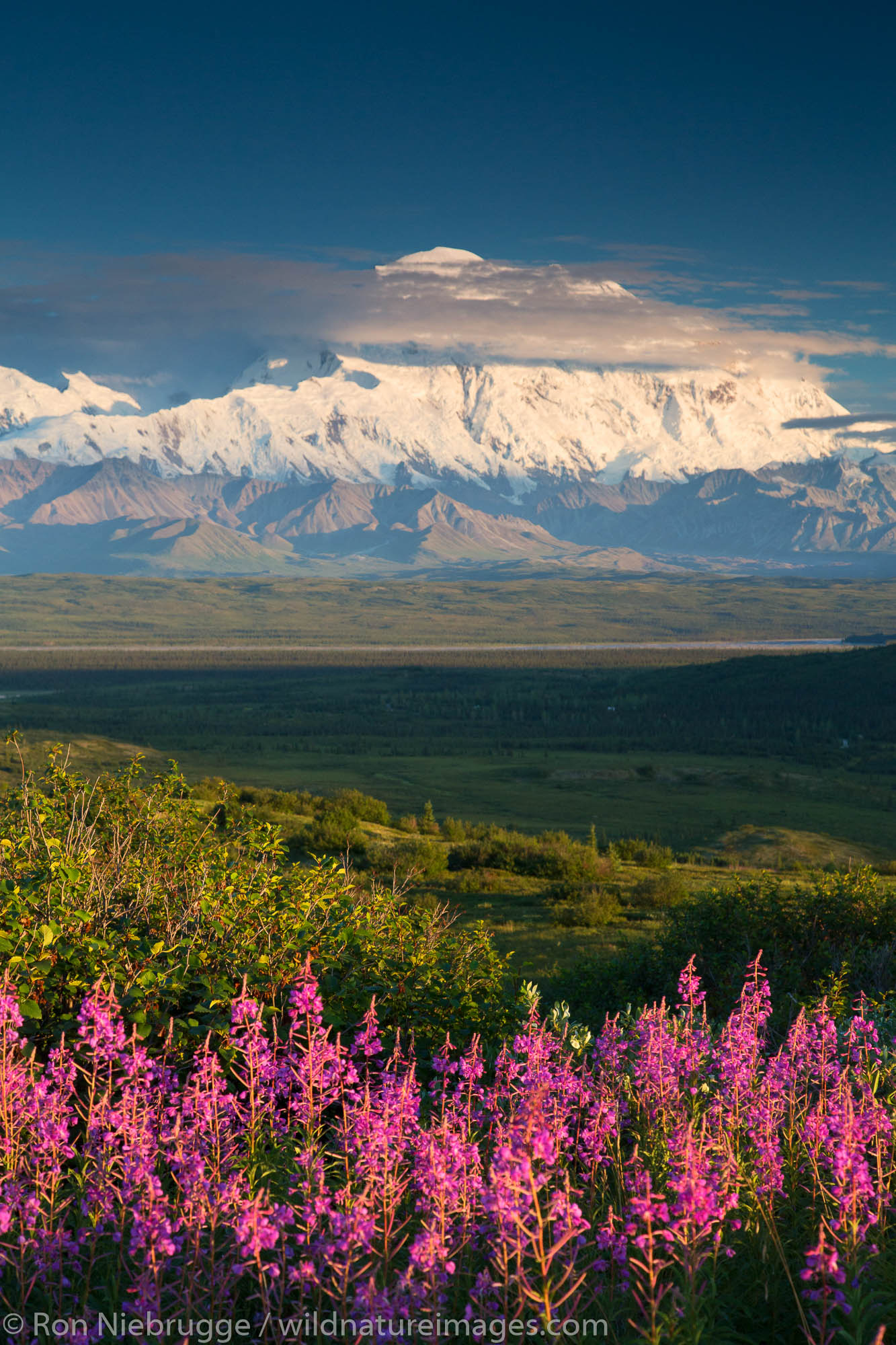 Fireweed and Mt. McKinley, locally known as Denali, Denali National Park, Alaska.