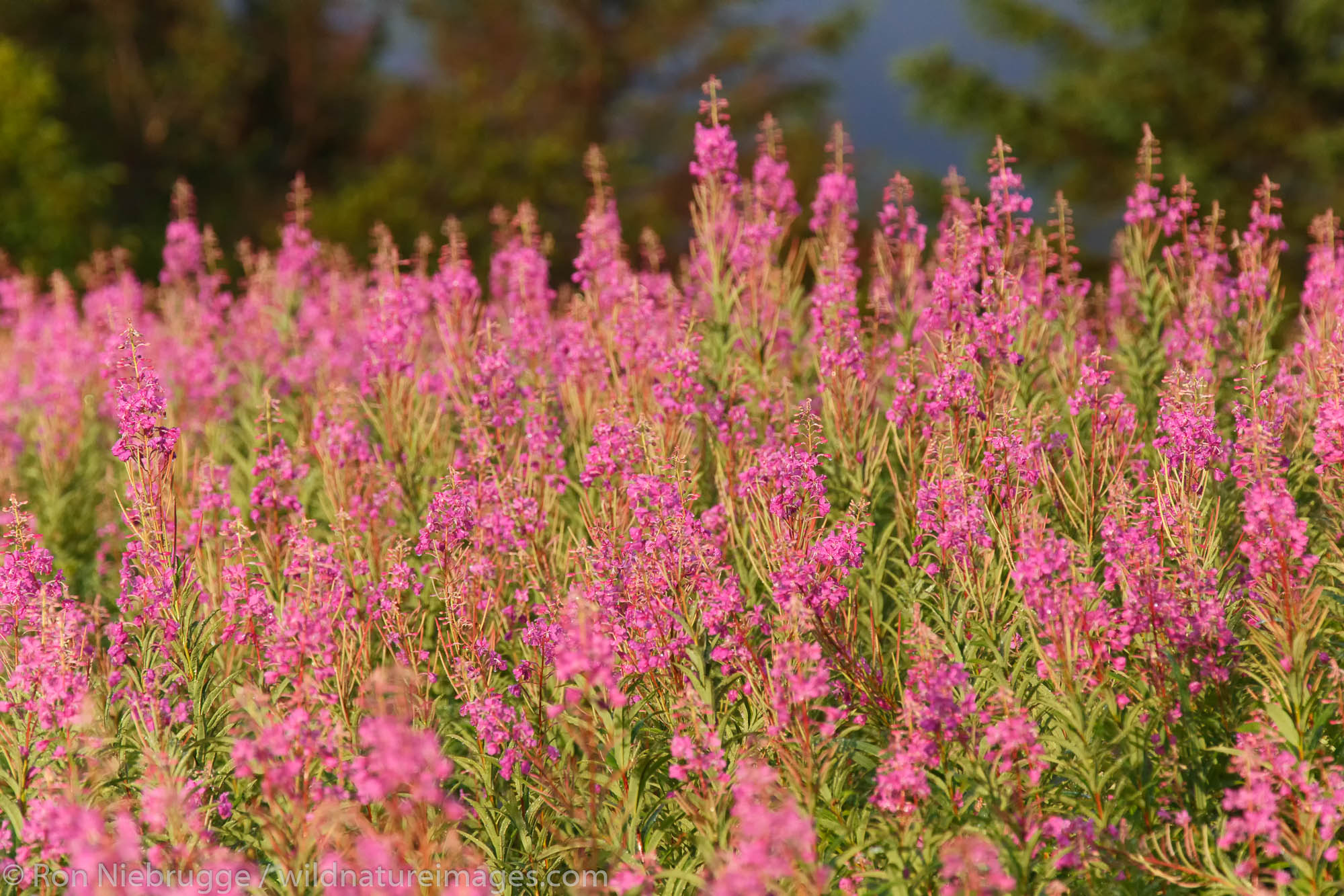 Fireweed, Lake Clark National Park, Alaska.