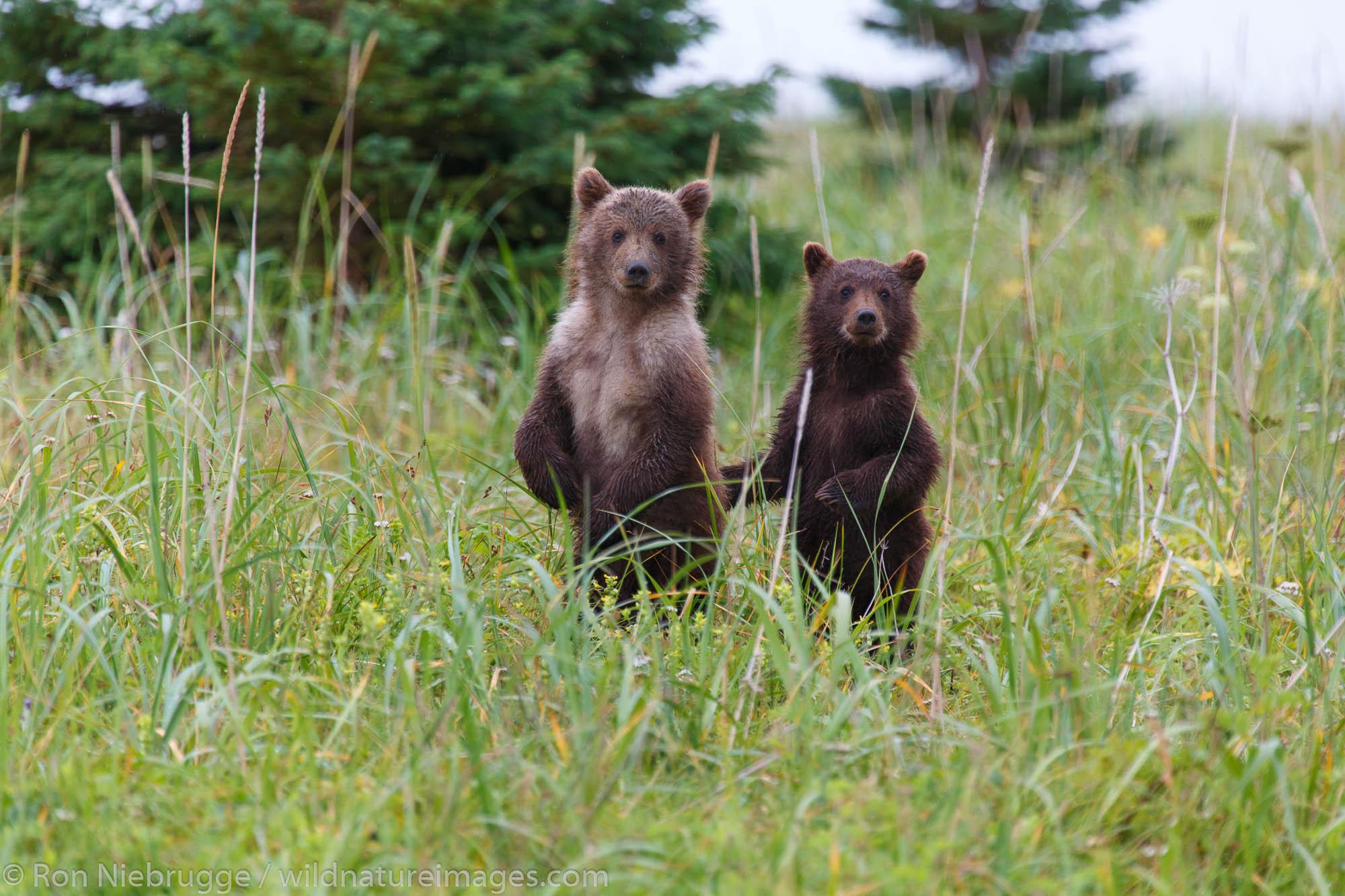A pari of  Brown or Grizzly Bear cubs, Lake Clark National Park, Alaska.
