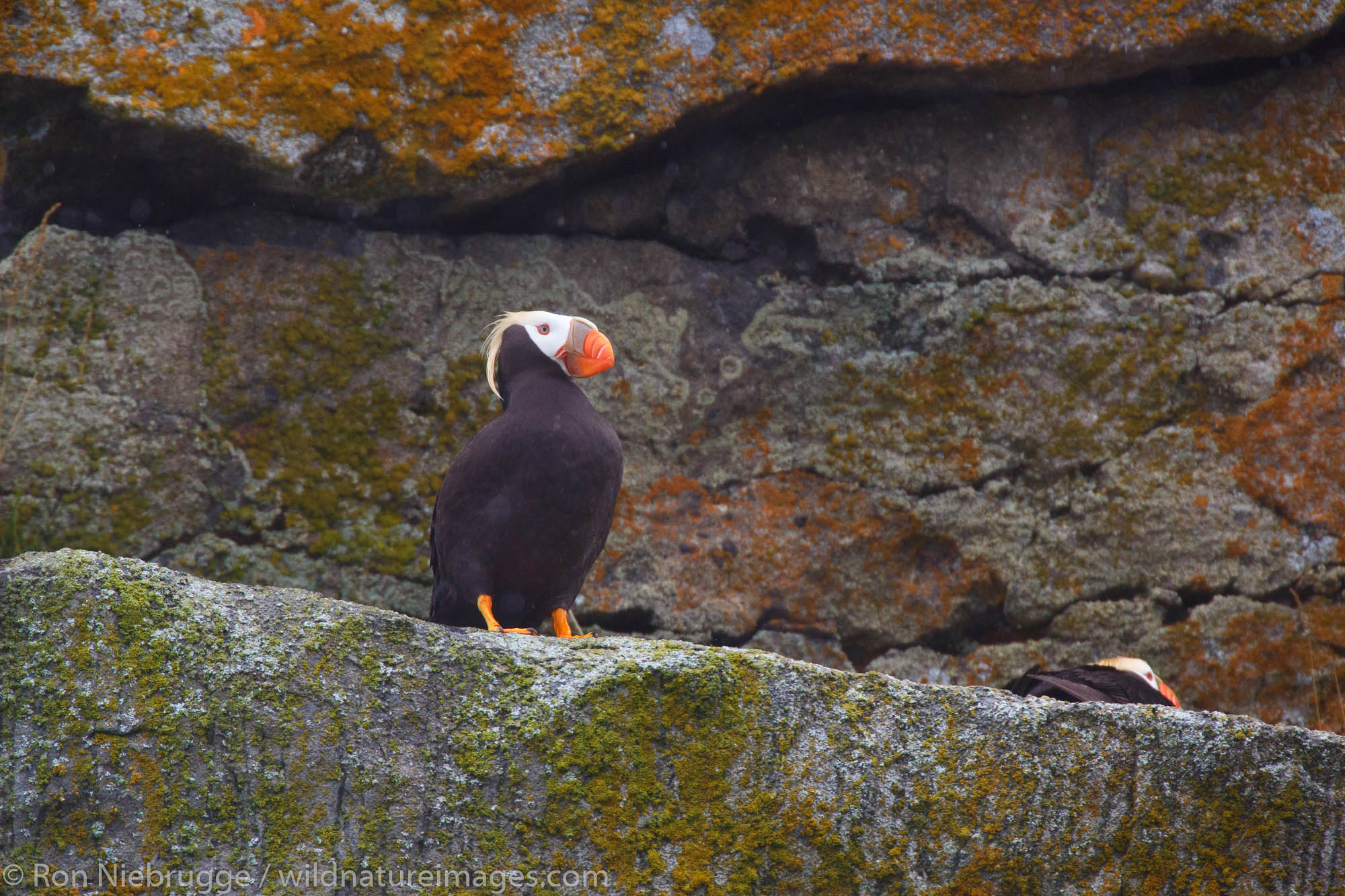 Tufted Puffin, Lake Clark National Park, Alaska.