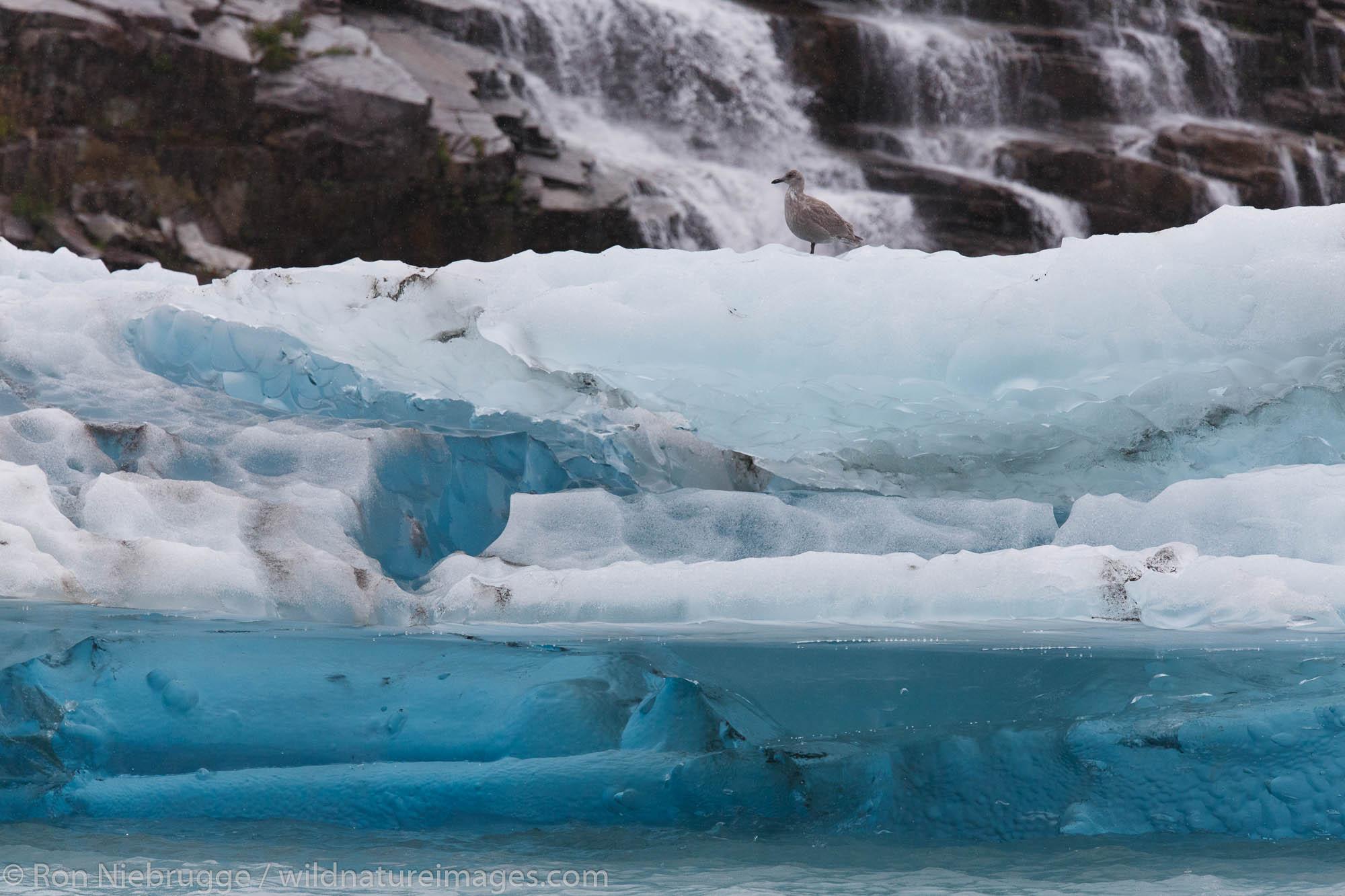 Gull on iceberg in Prince William Sound, Chugach National Forest, Alaska.
