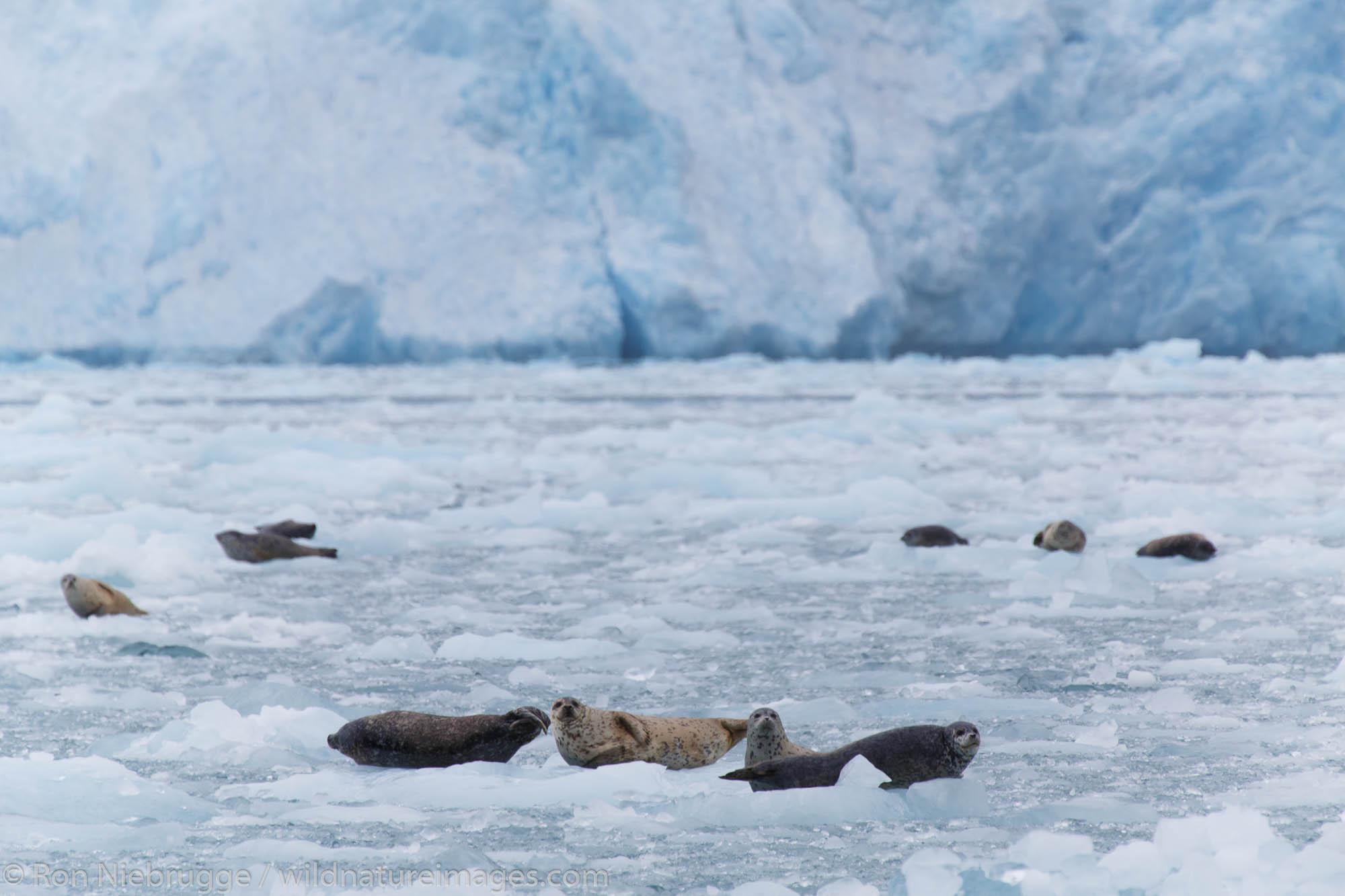 Harbor Seals (Phoca vitulina) at Chenega Glacier in Nassau Fjord, Prince William Sound, Chugach National Forest, Alaska.
