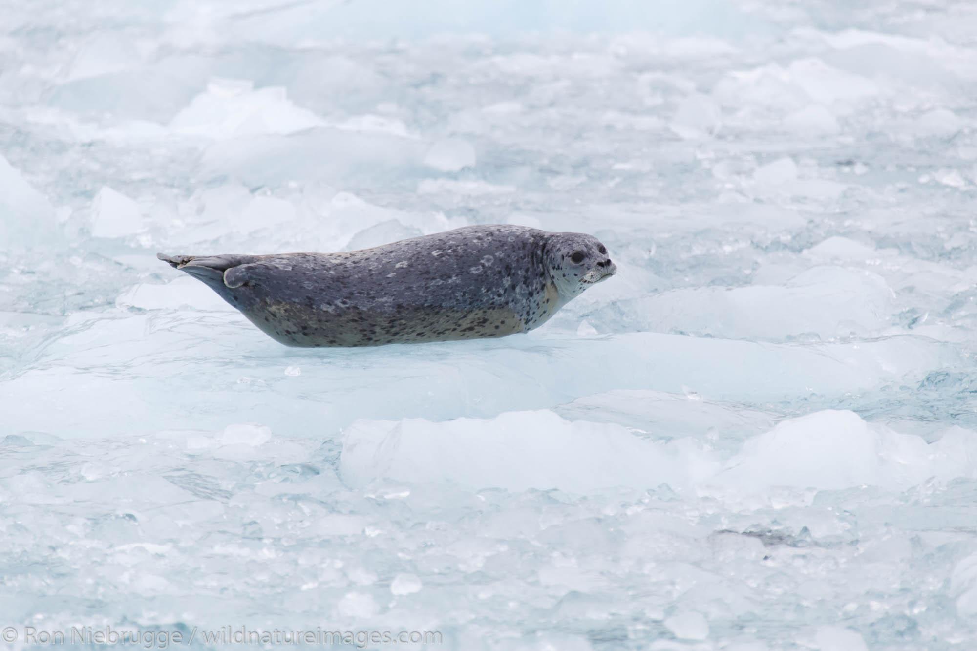 Harbor Seal (Phoca vitulina) at Chenega Glacier in Nassau Fjord, Prince William Sound, Chugach National Forest, Alaska.