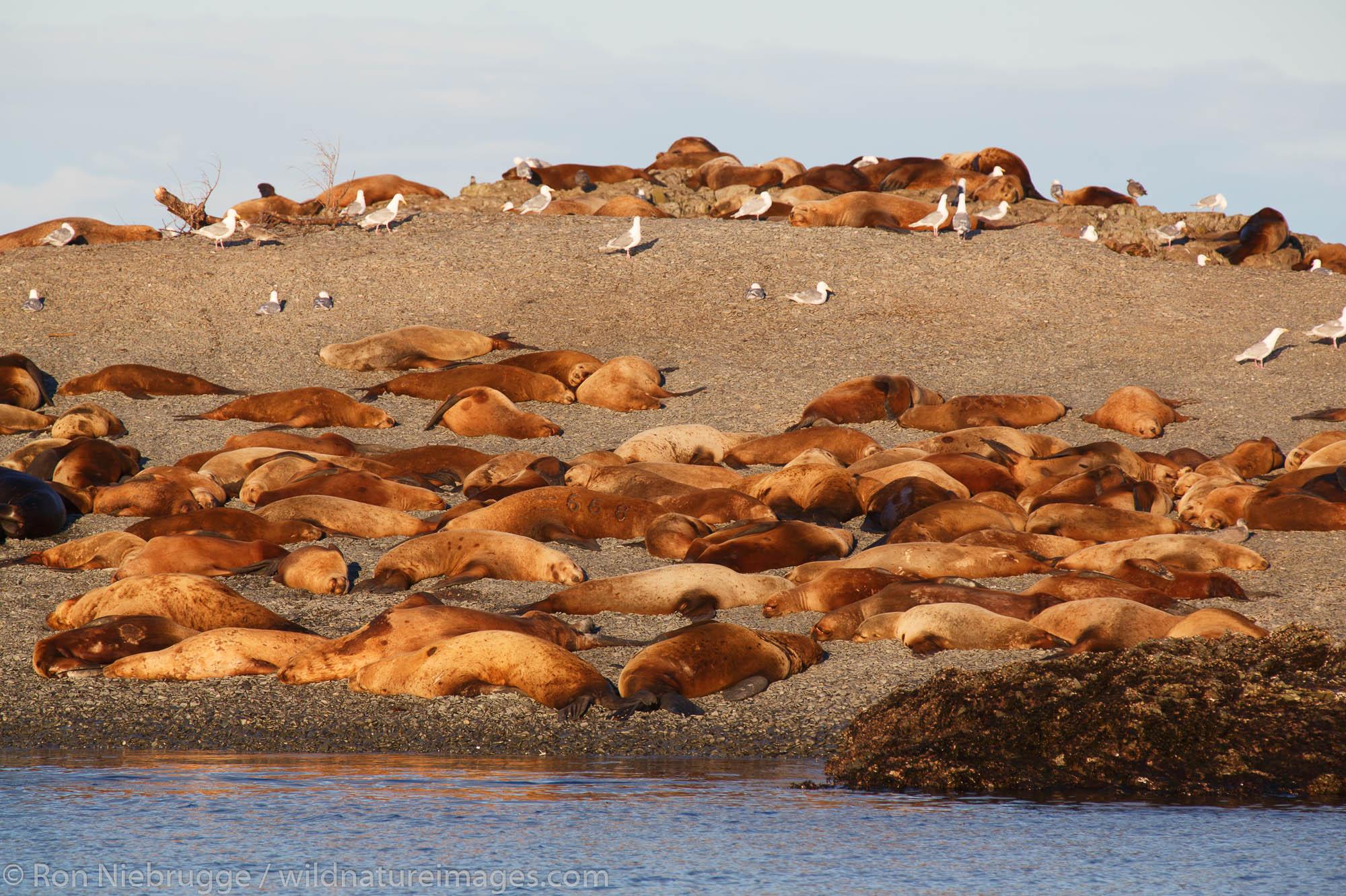 Sea Lions, Prince William Sound, Chugach National Forest, Alaska.