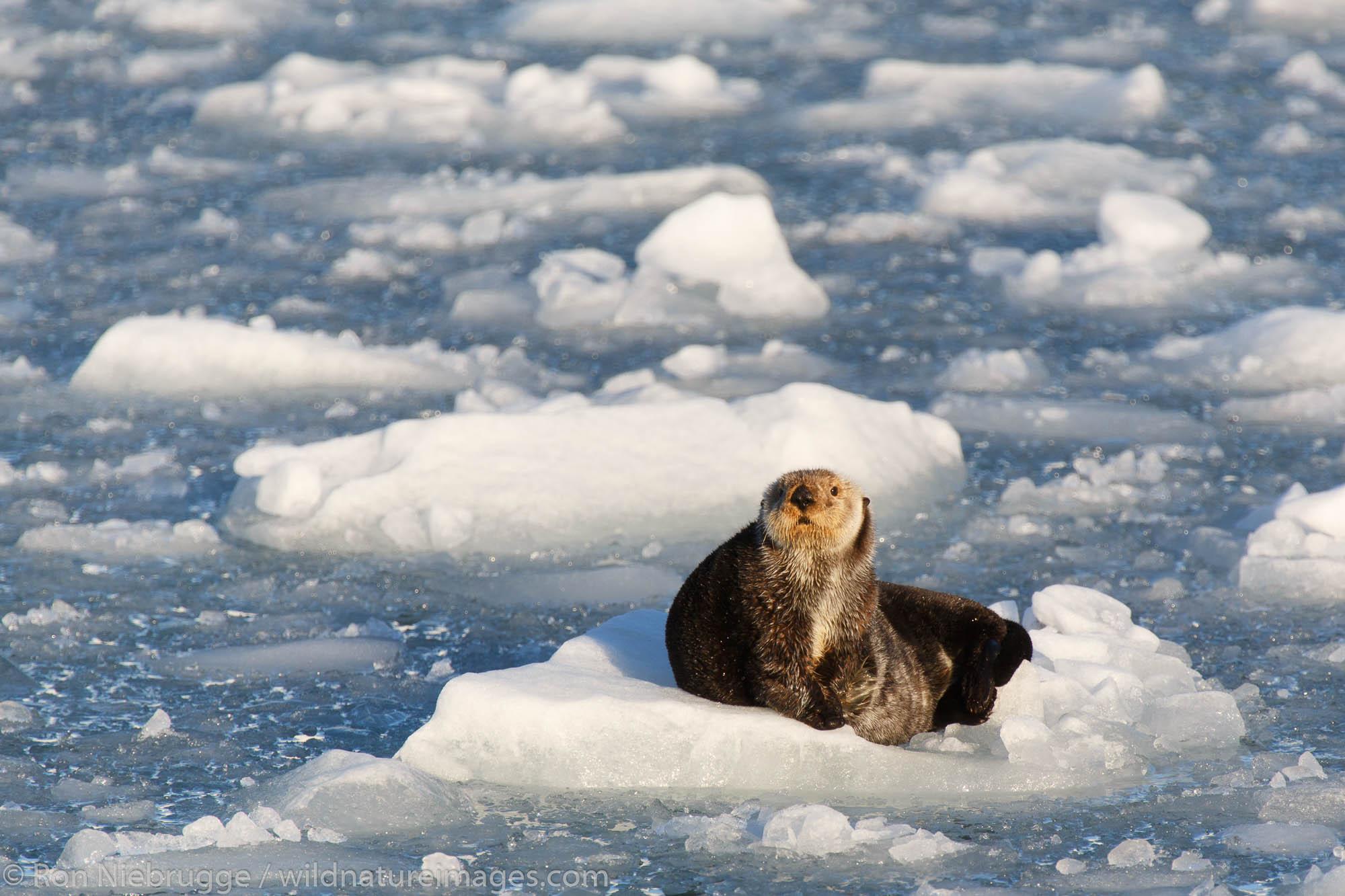 Sea Otter, Harriman Fjord, Prince William Sound, Chugach National Forest, Alaska.