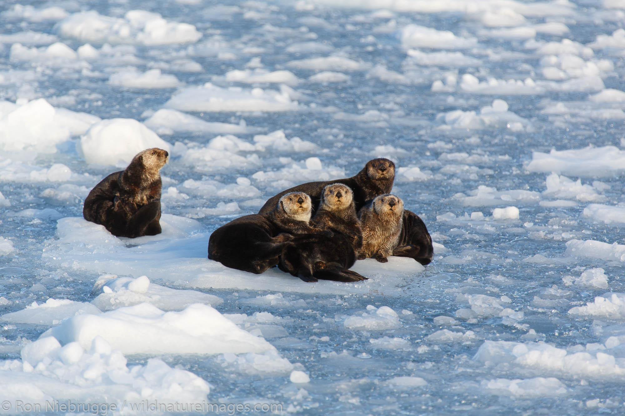 Sea Otters, Harriman Fjord, Prince William Sound, Chugach National Forest, Alaska.
