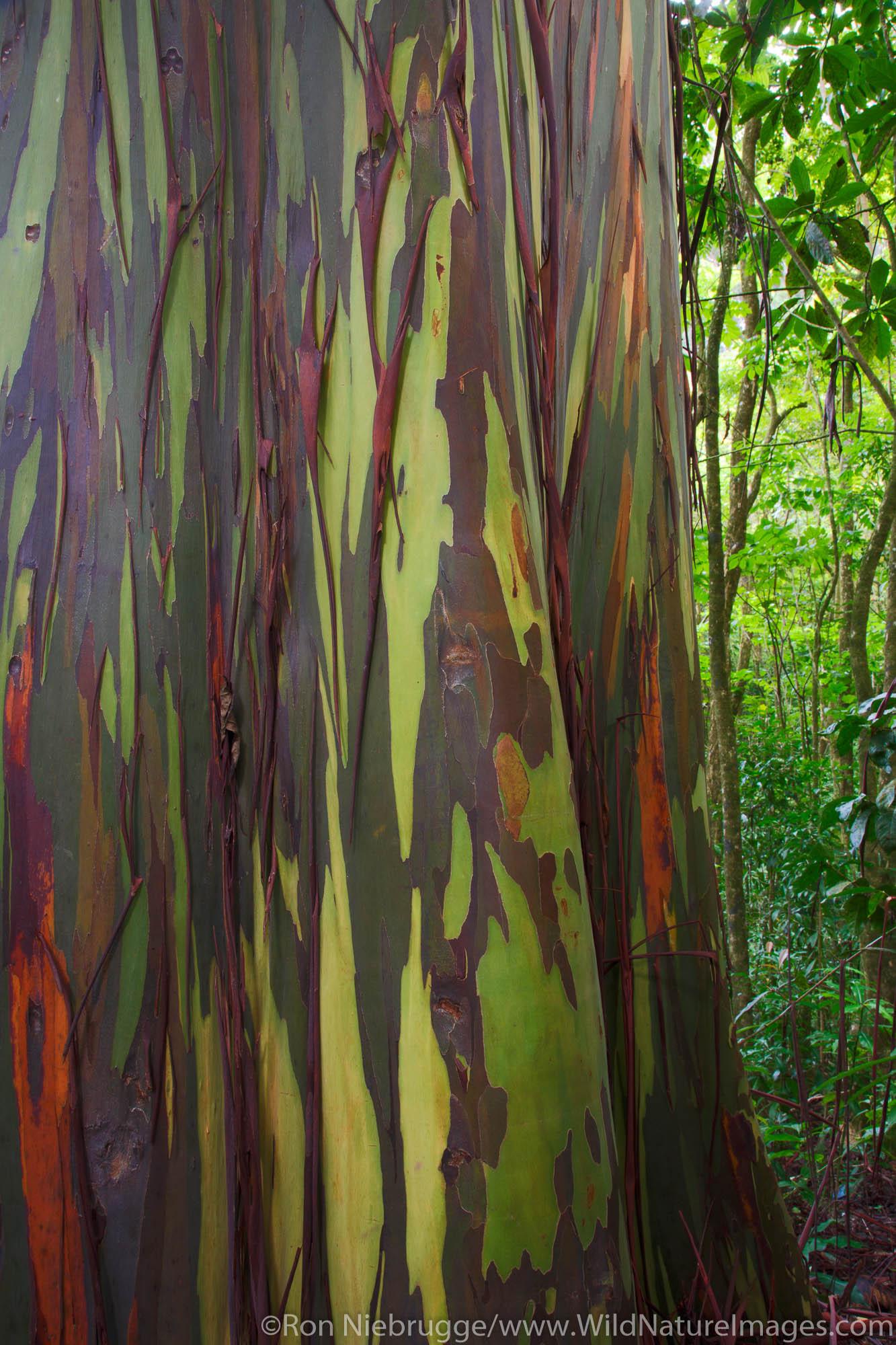 Colorful Eucalyptus Trees along the Hana Highway,Maui, Hawaii.