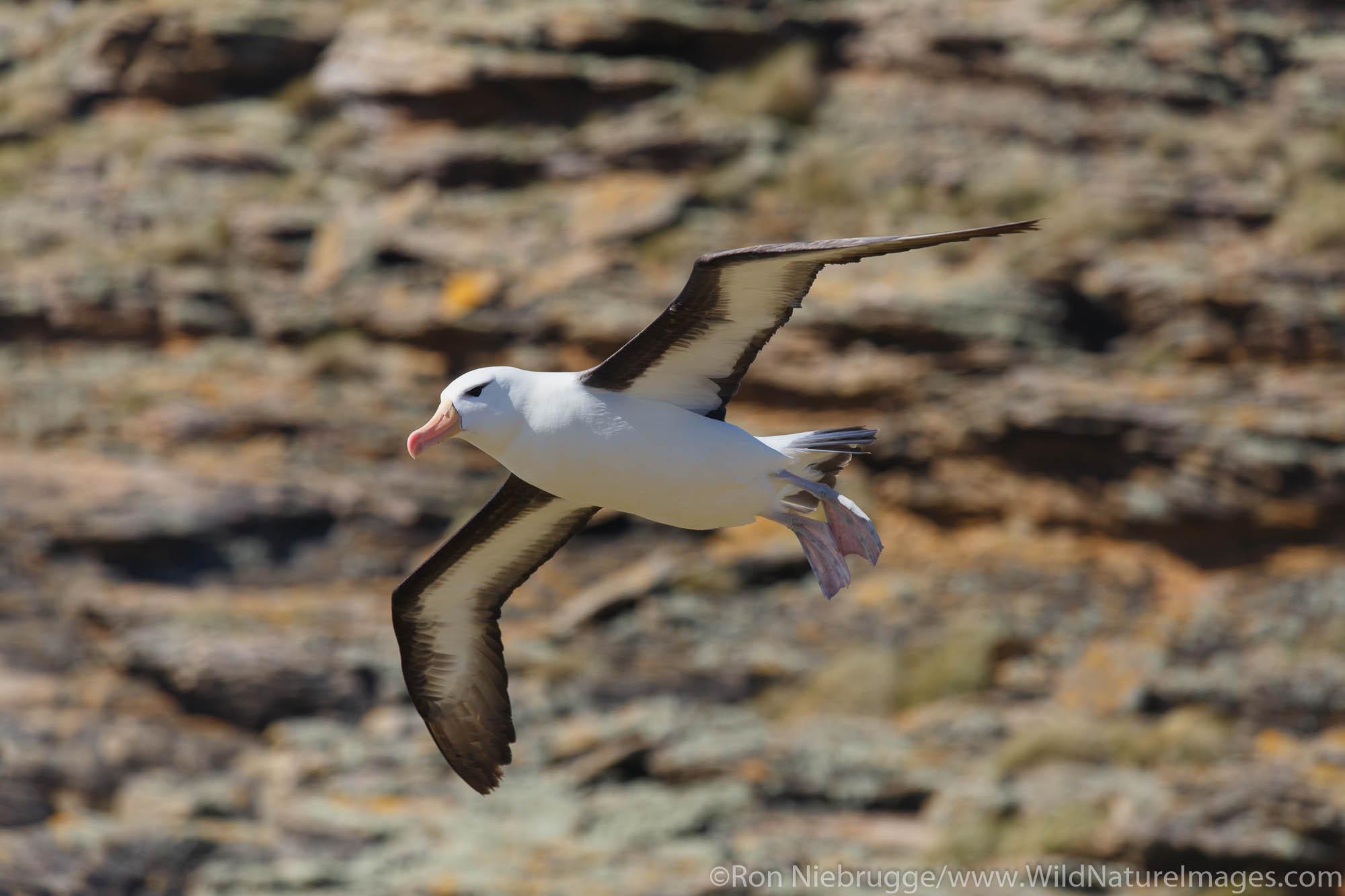 Black-browed Albatross, New Island Conservation Trust, New Island, Falkland Islands.