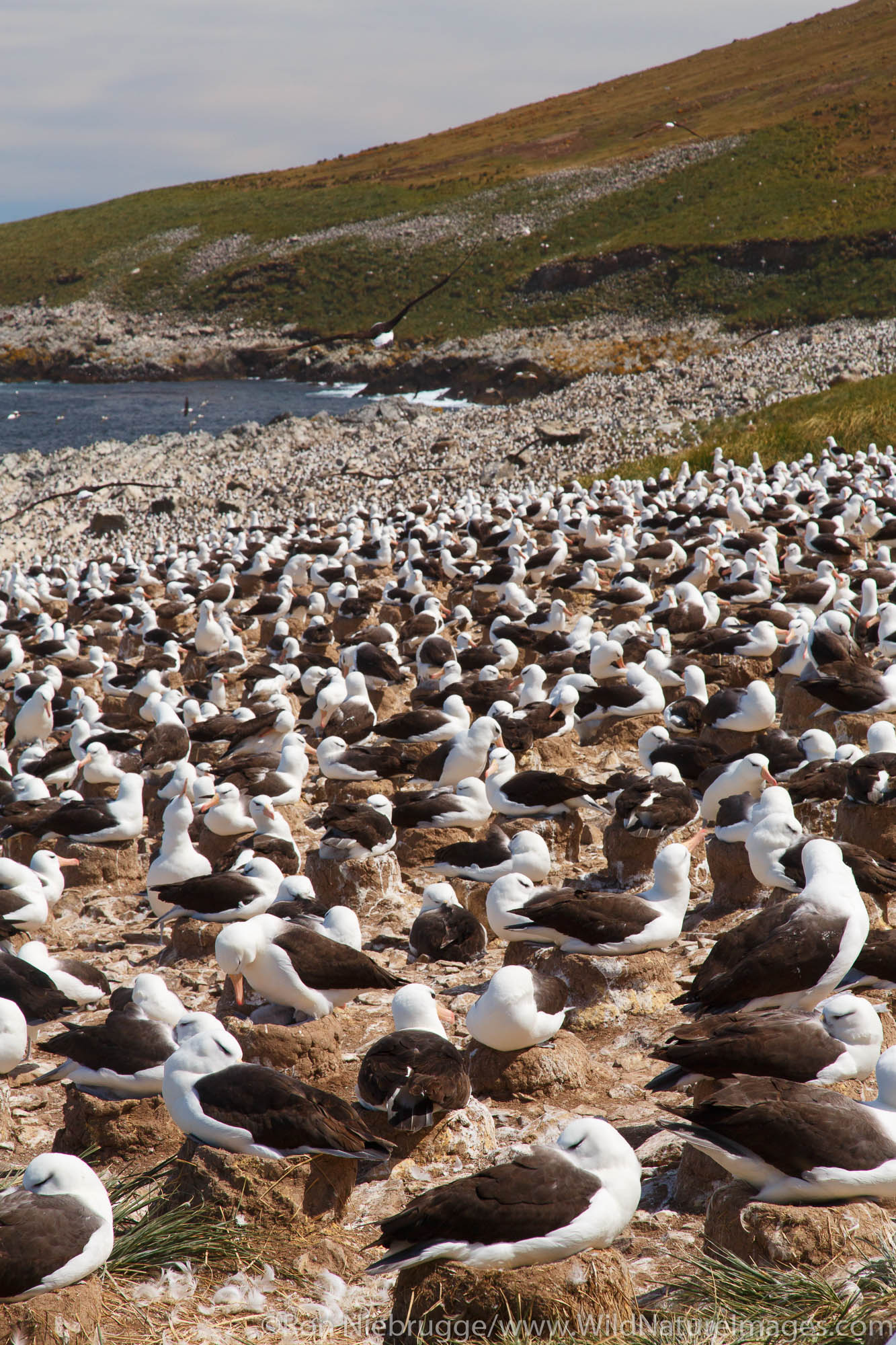 A huge colony of Black-browed Albatross on Steeple Jason, Falkland Islands.