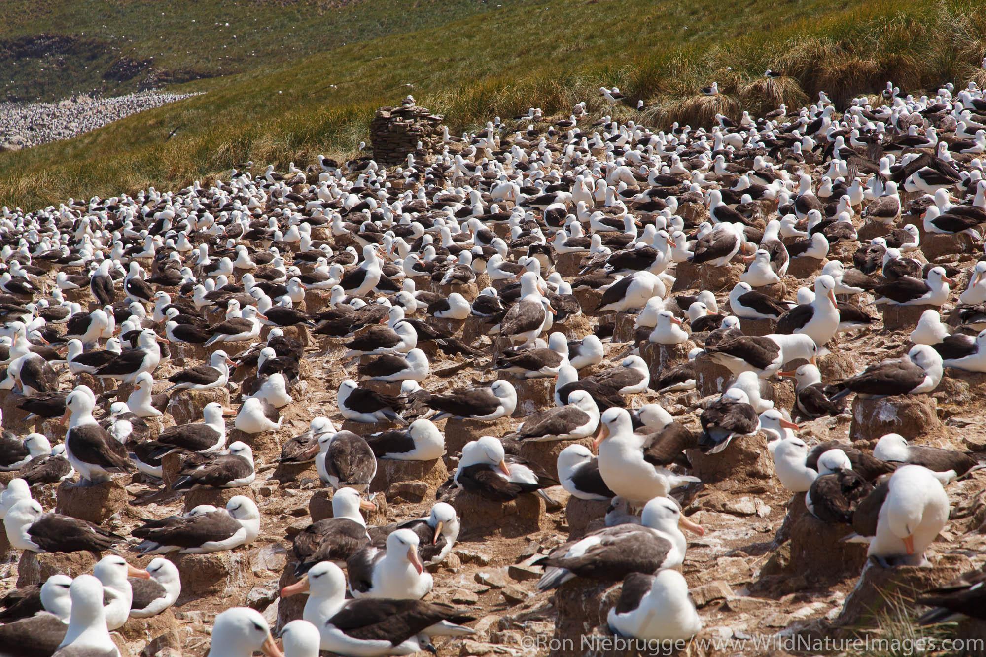 A huge colony of Black-browed Albatross on Steeple Jason, Falkland Islands.